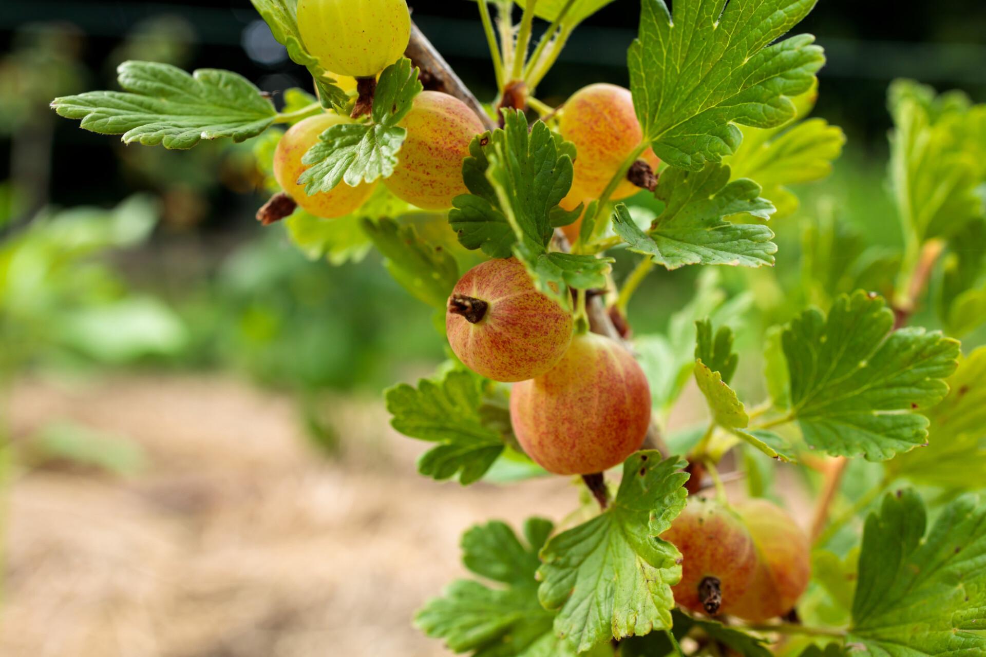 Gooseberries ripen in the summer sun