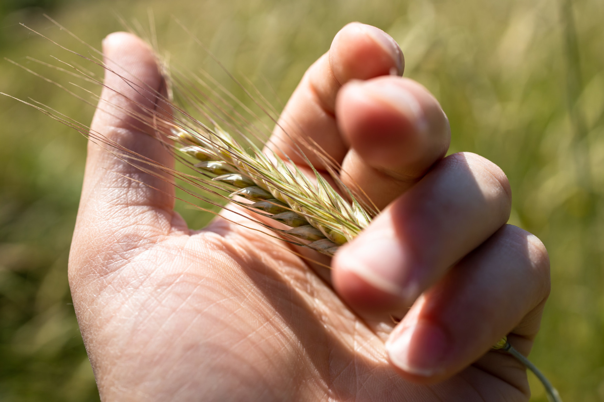 Ear of wheat in the hand