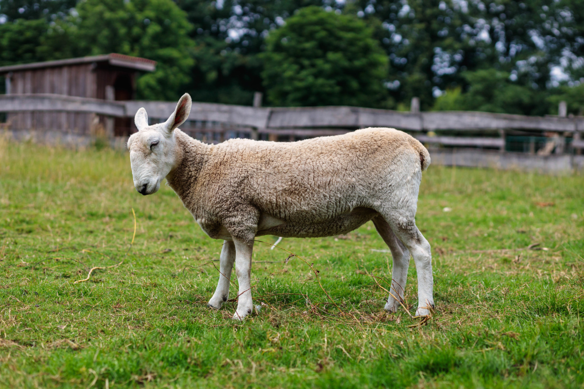 Cute sheep photographed from the side
