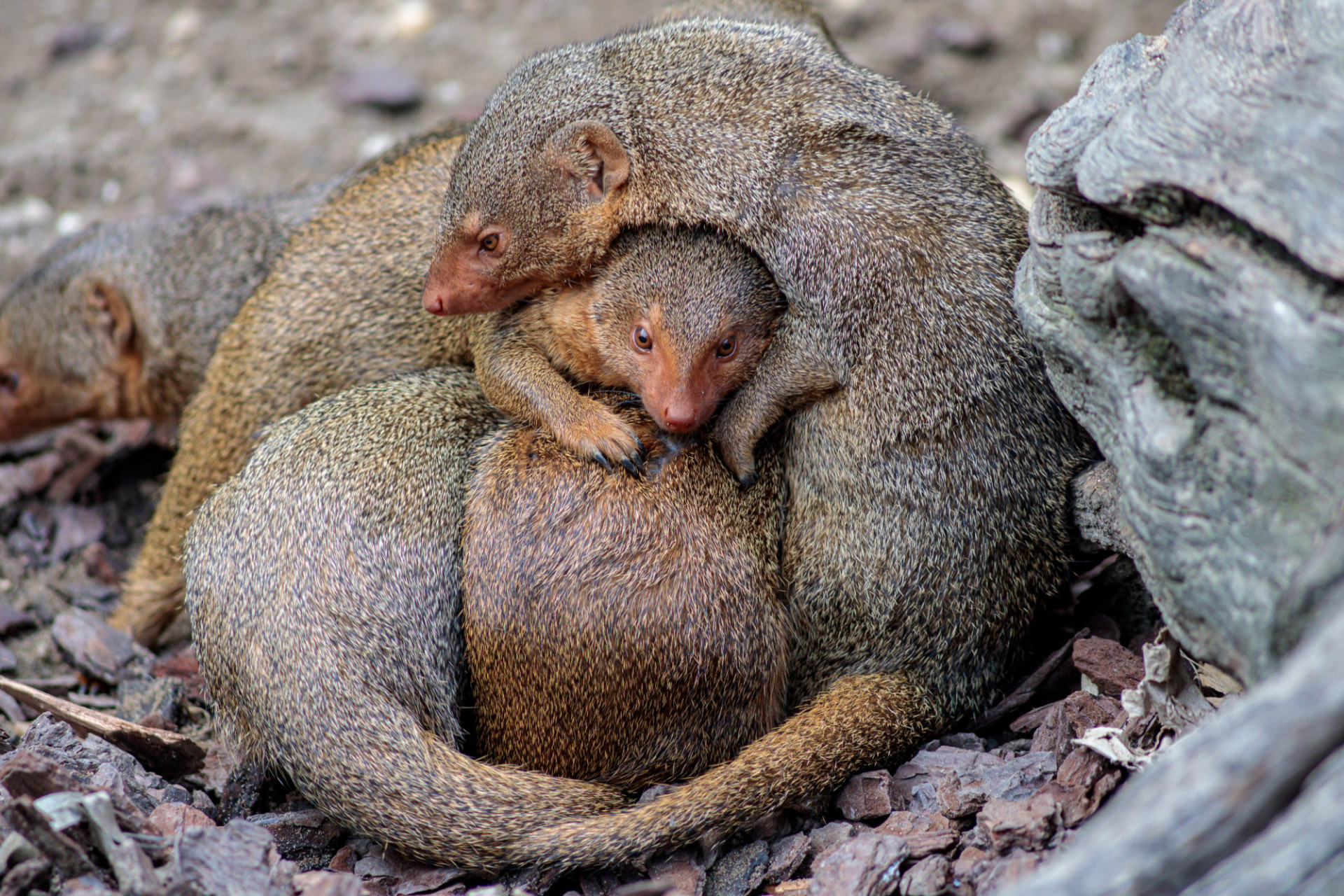 Cuddling Helogale group