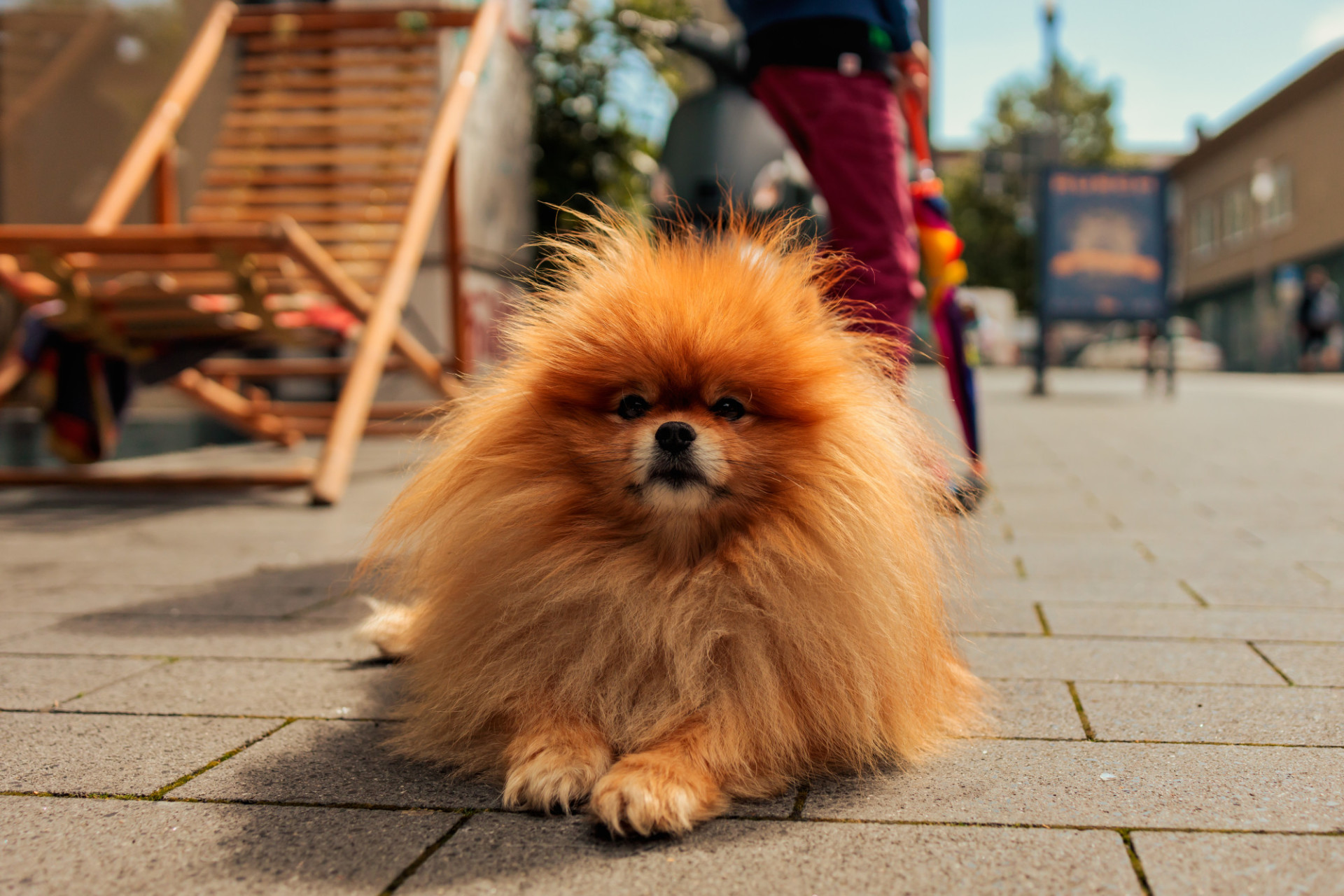 Orange pomeranian dog lying on the pedestrian street