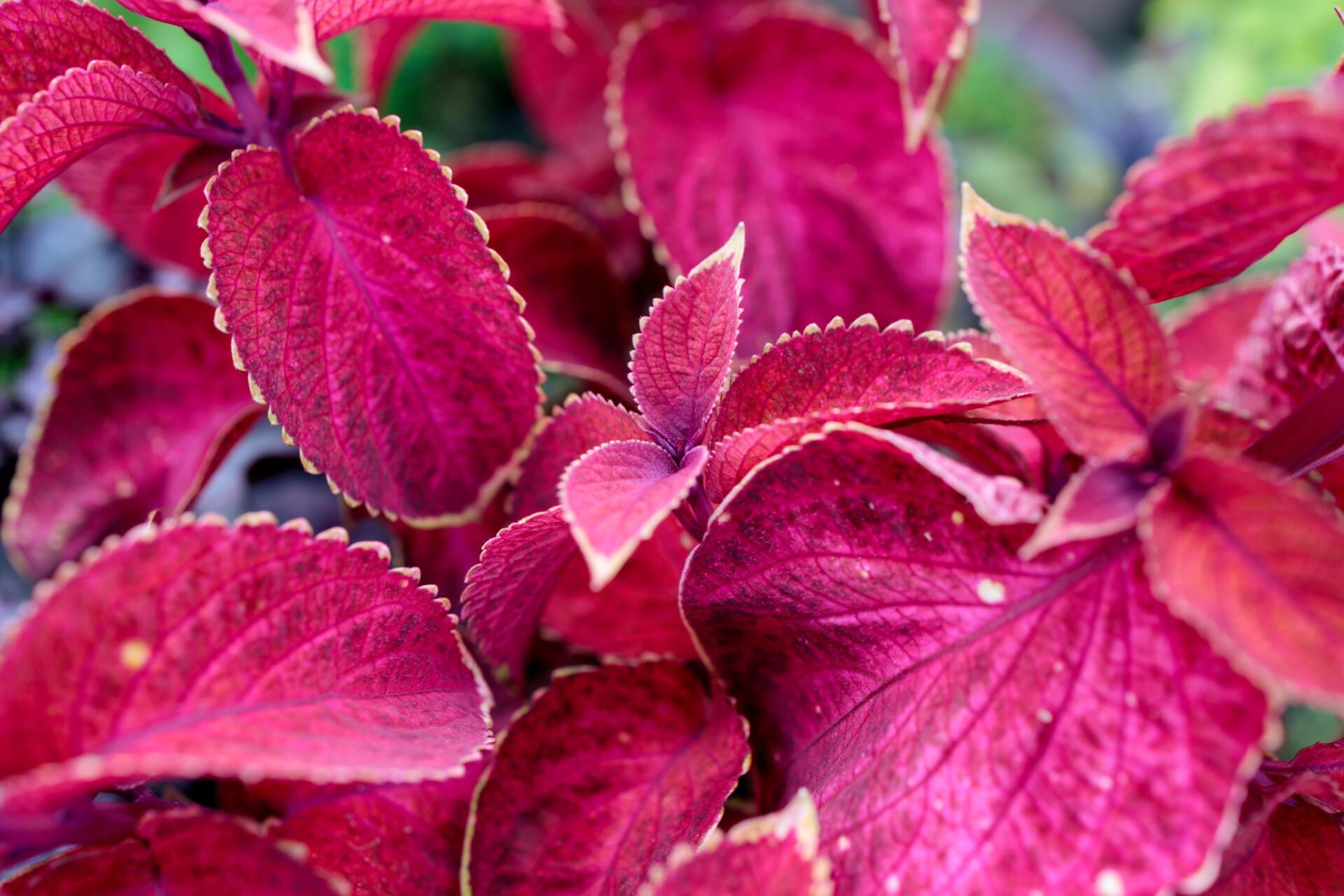 Beefsteak plant leaves