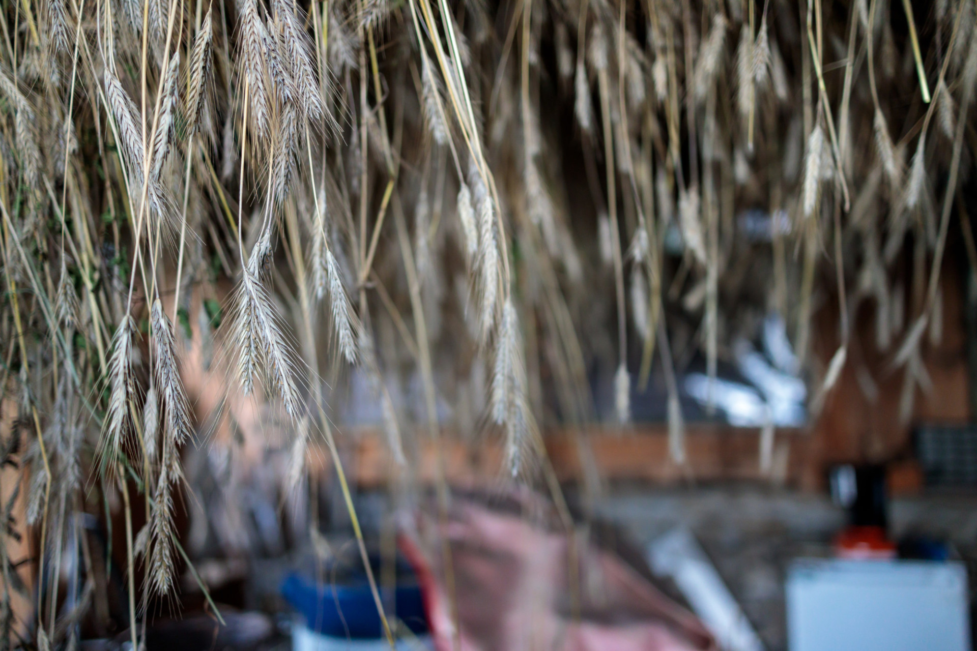 Wheat hung up to dry