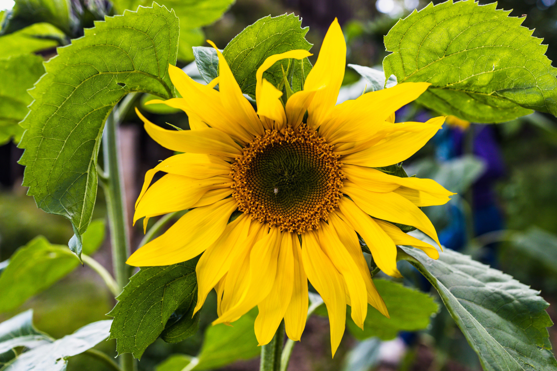 Yellow sunflower in August