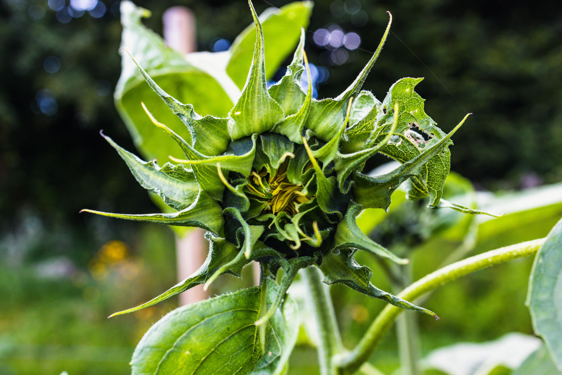 Sunflower just before blooming