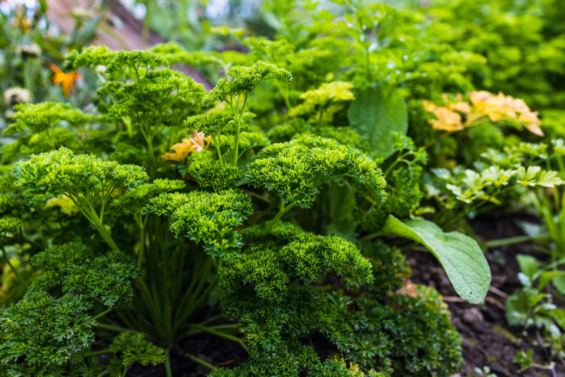 Parsley in the herb garden