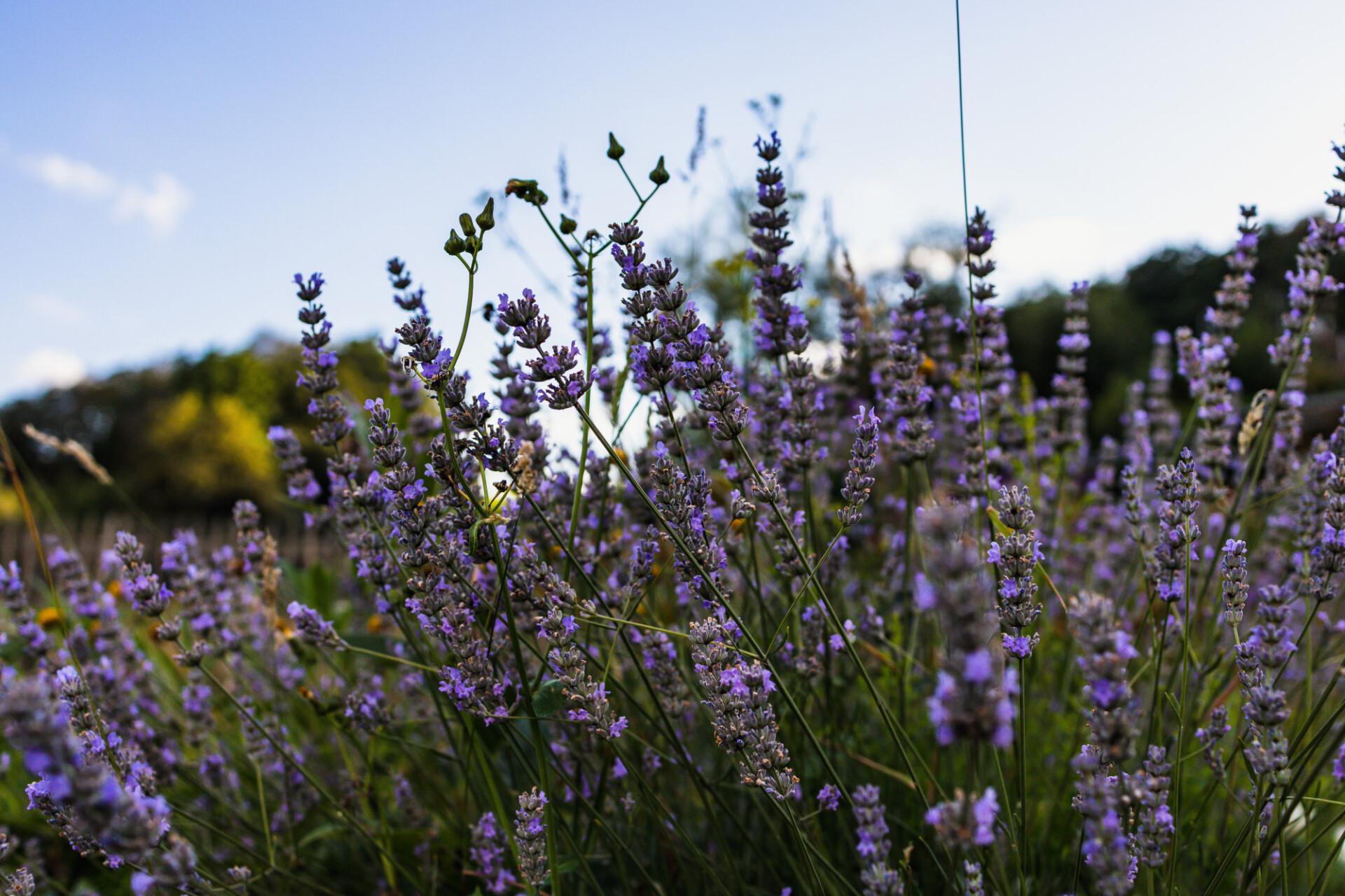 Lavender grows in wild meadow