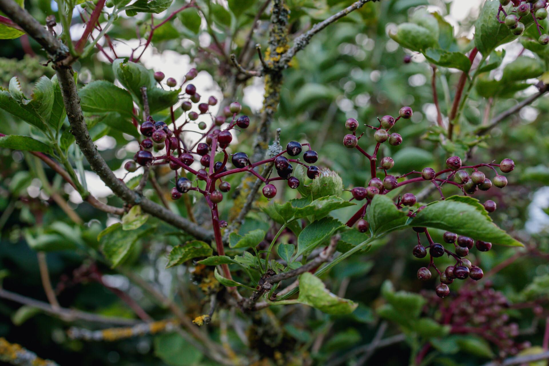 Elderberry just before ripening