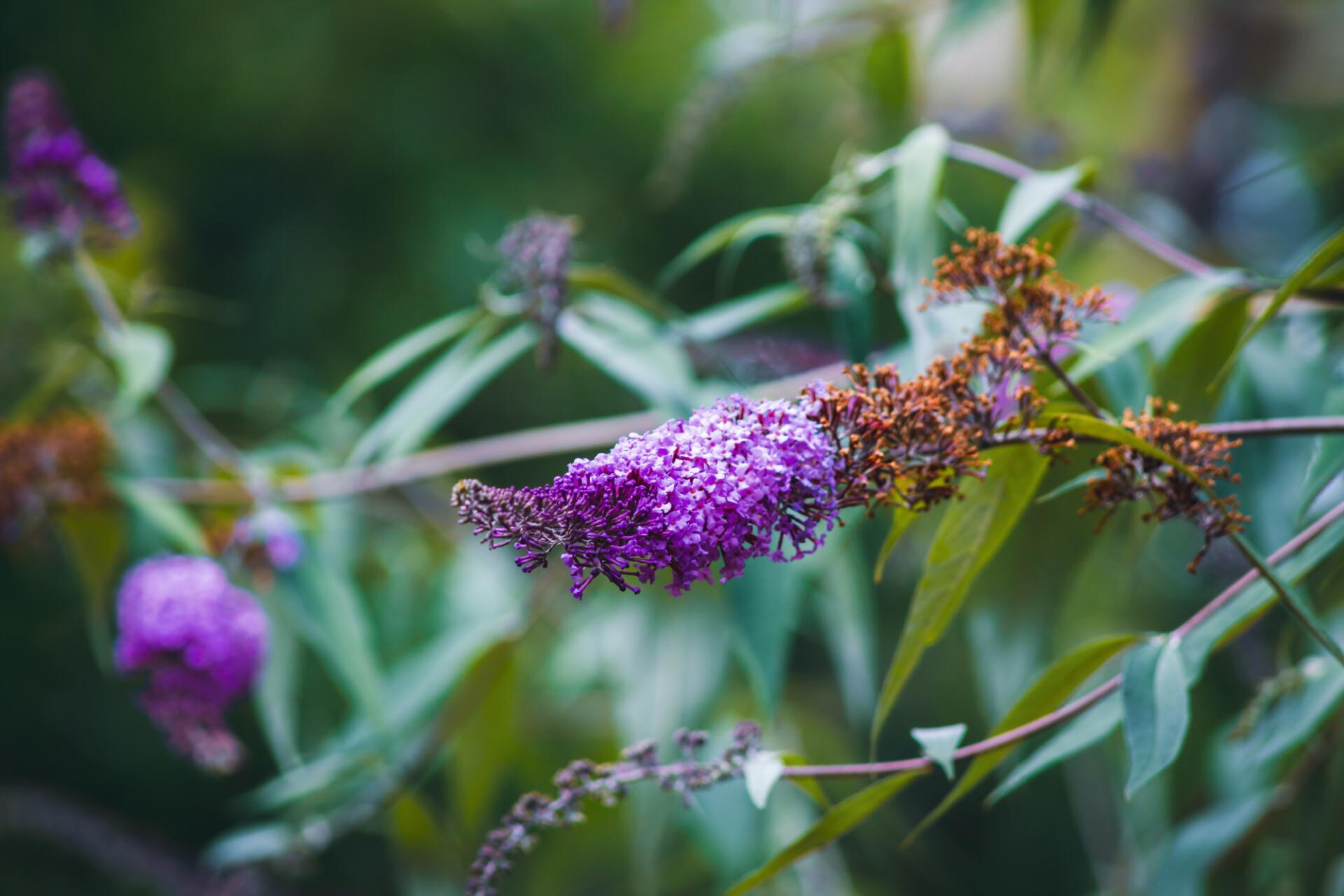 Purple lilac flowering in August