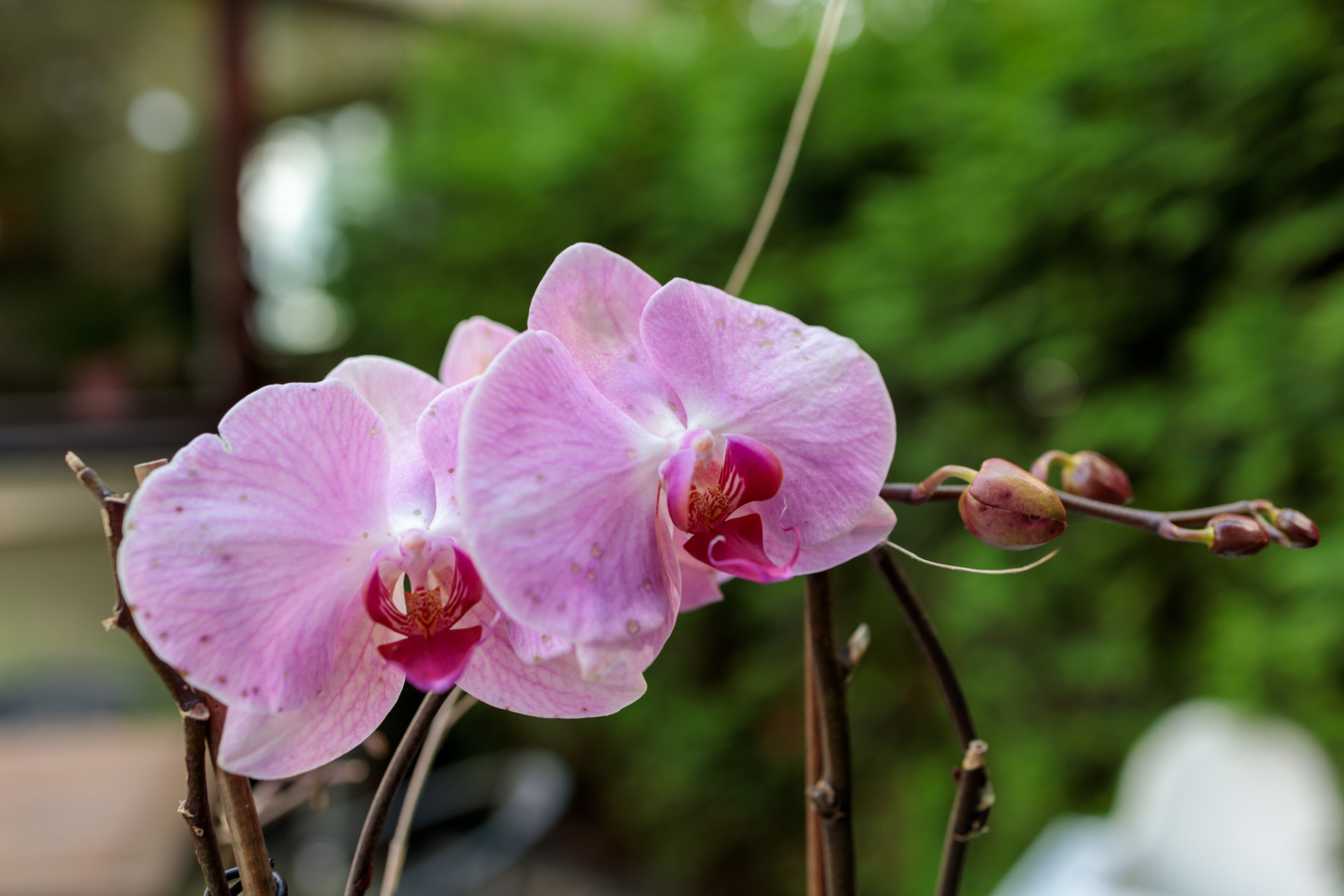 Pink Orchid Blossoms