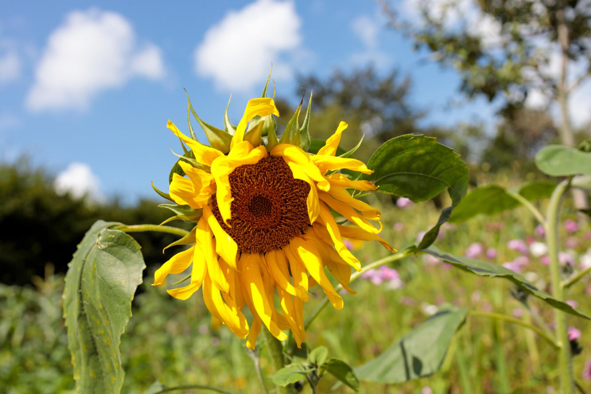 Beautiful August Sunflower