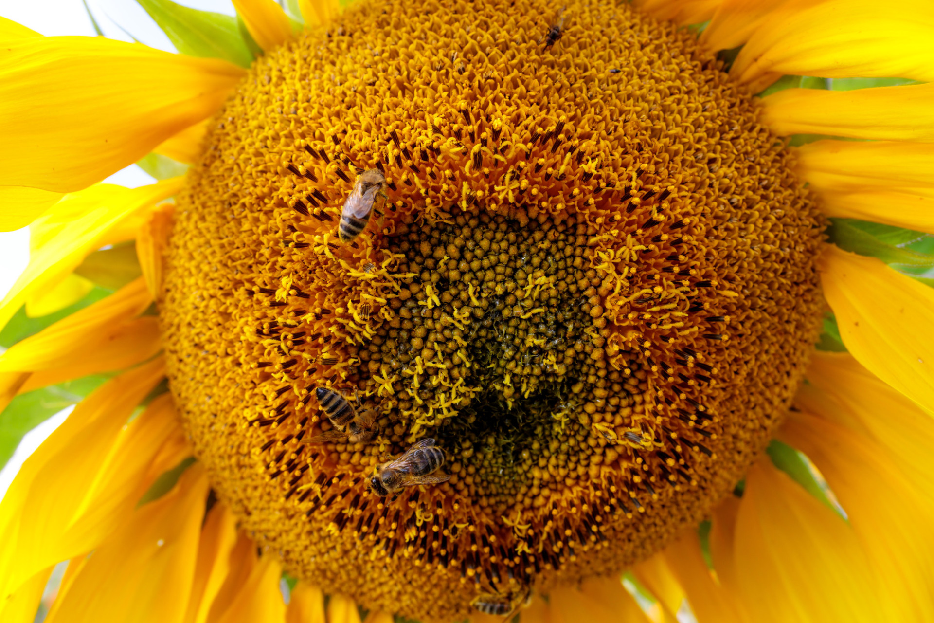 Many bees on a sunflower