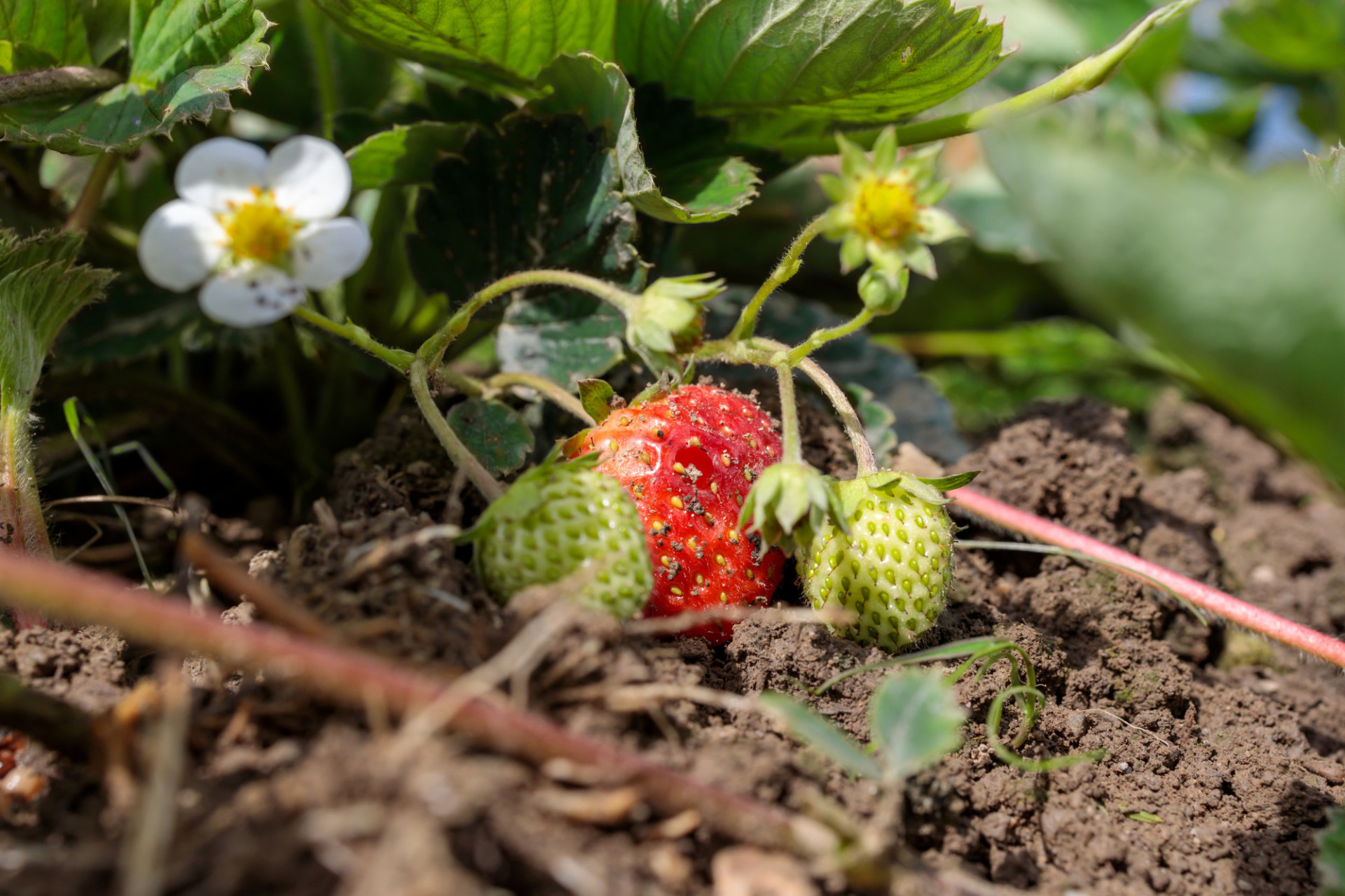 Ripe strawberry in August