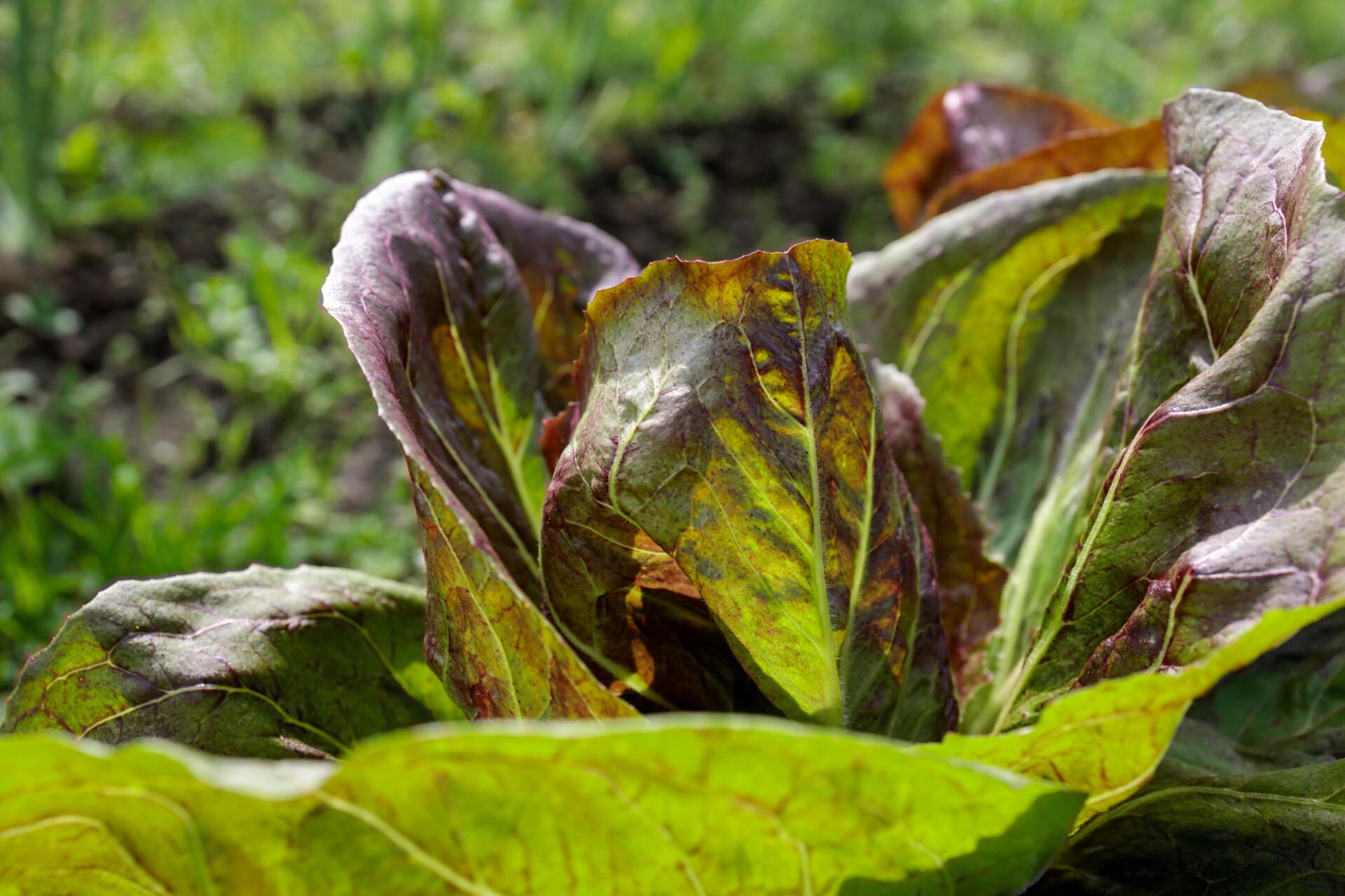 Salad grows in the garden