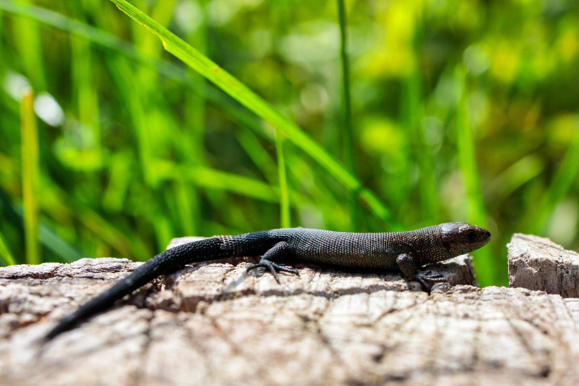 The alpine salamander (Salamandra atra)