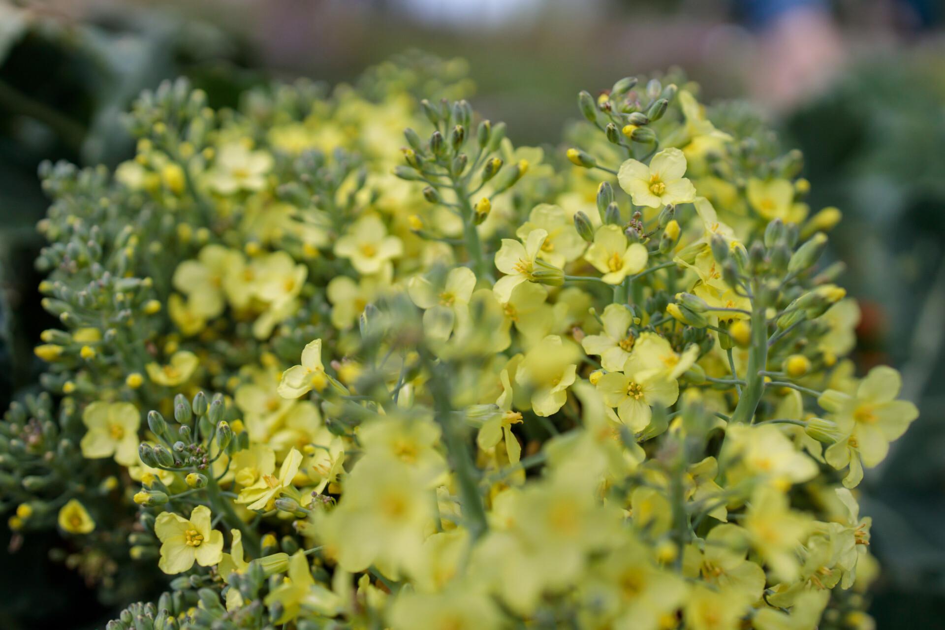 Flowering broccoli