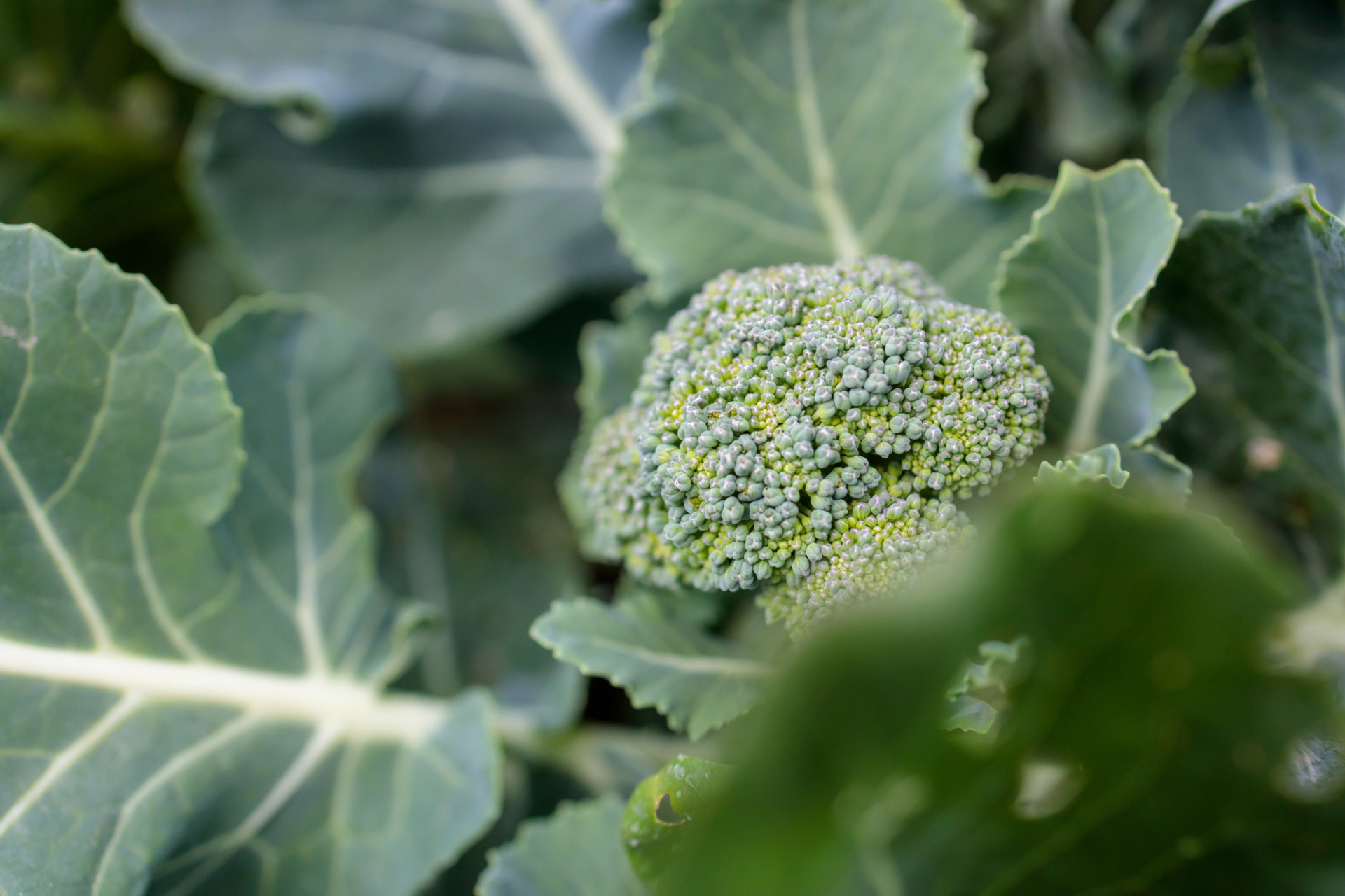 Broccoli grows in the garden