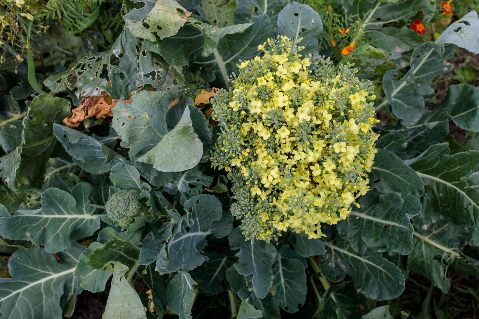 Flowering broccoli grows in the garden