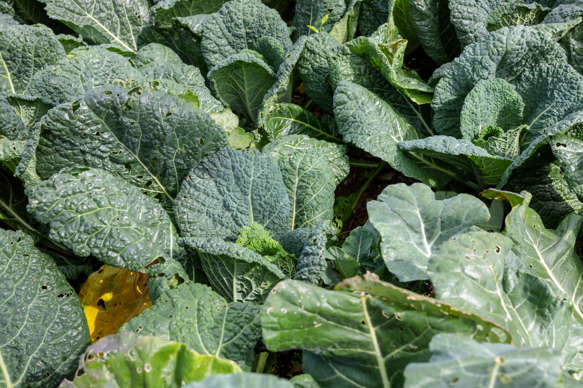 Cabbage grows in the garden