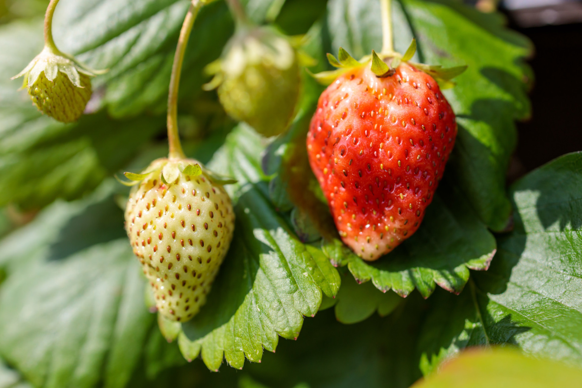 Green and red ripe strawberries