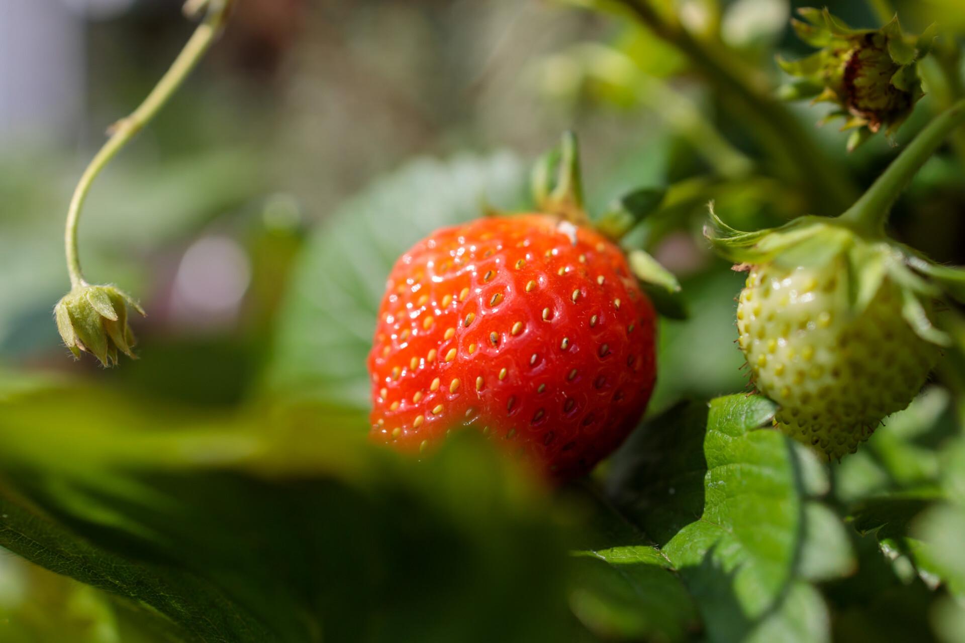 Delicious strawberries ripen in the sun