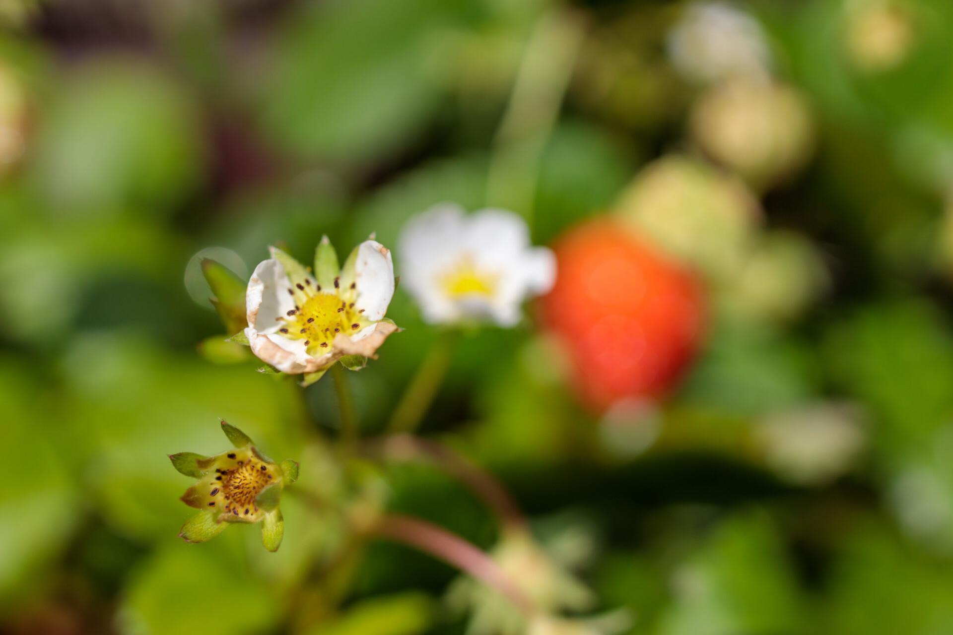 The white blossom of a strawberry