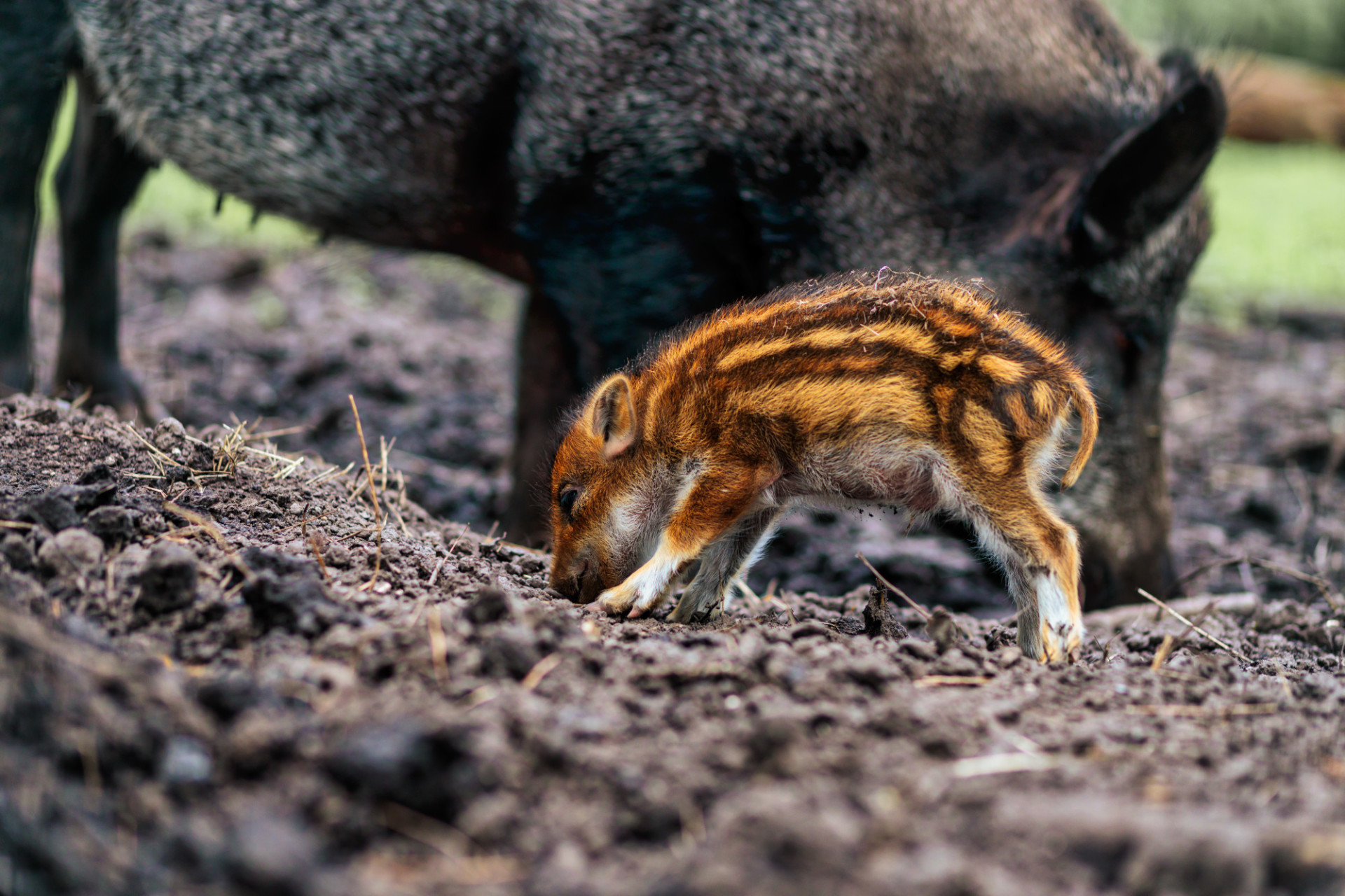 Wild boar young animal