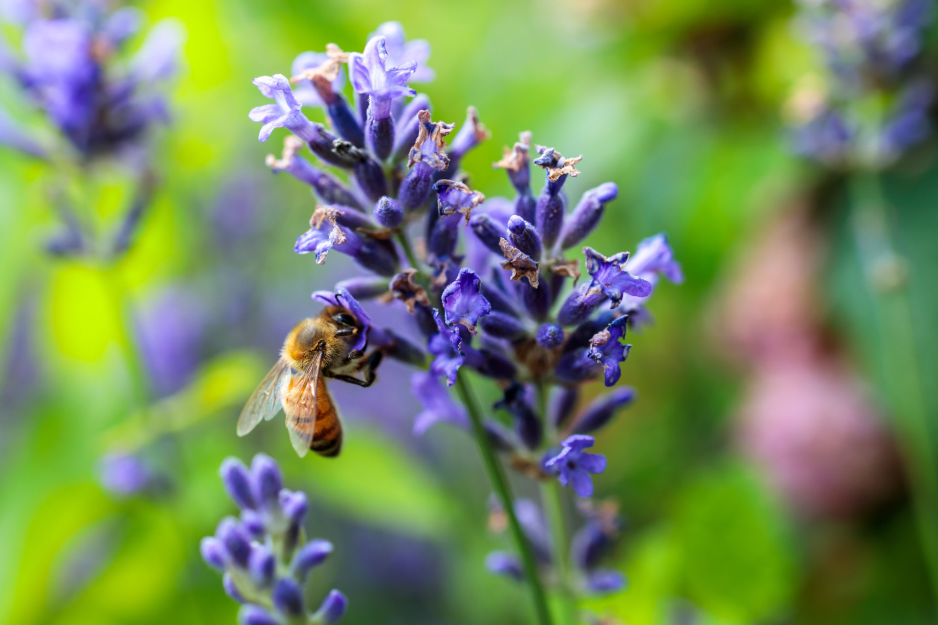 Bee collecting nectar from lavender flower