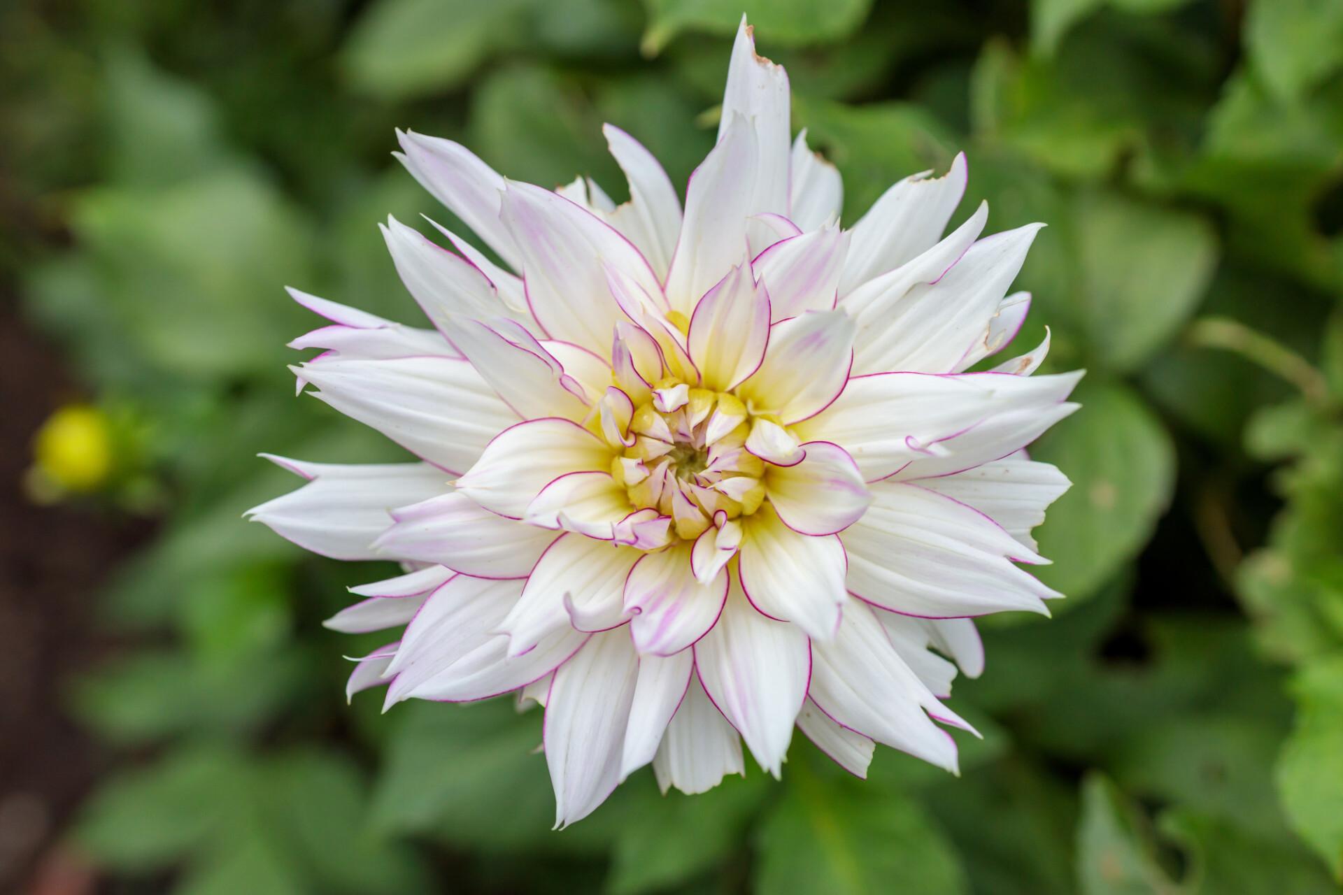 Beautiful White Dahlia Flower In Garden