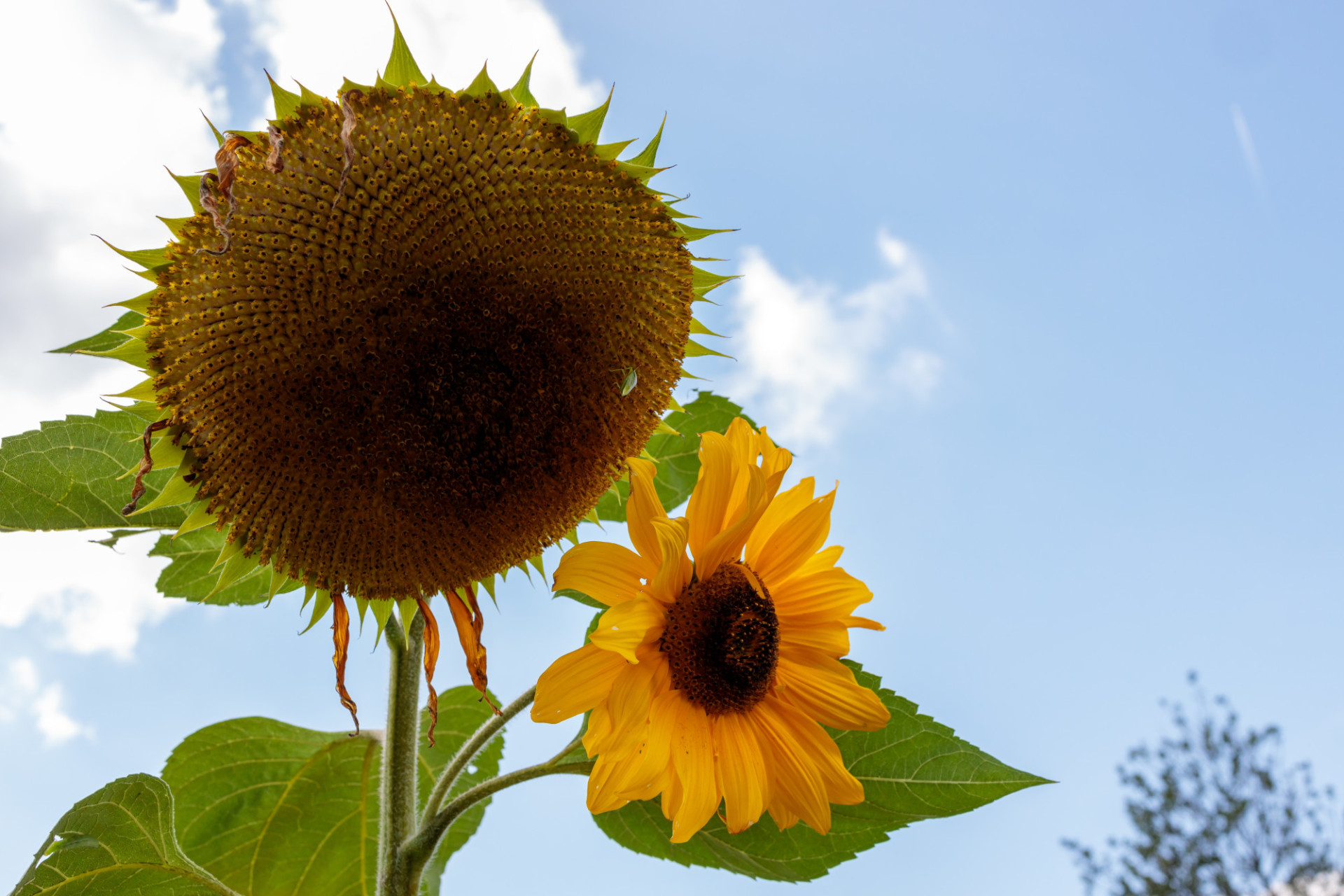 Sunflower without petals