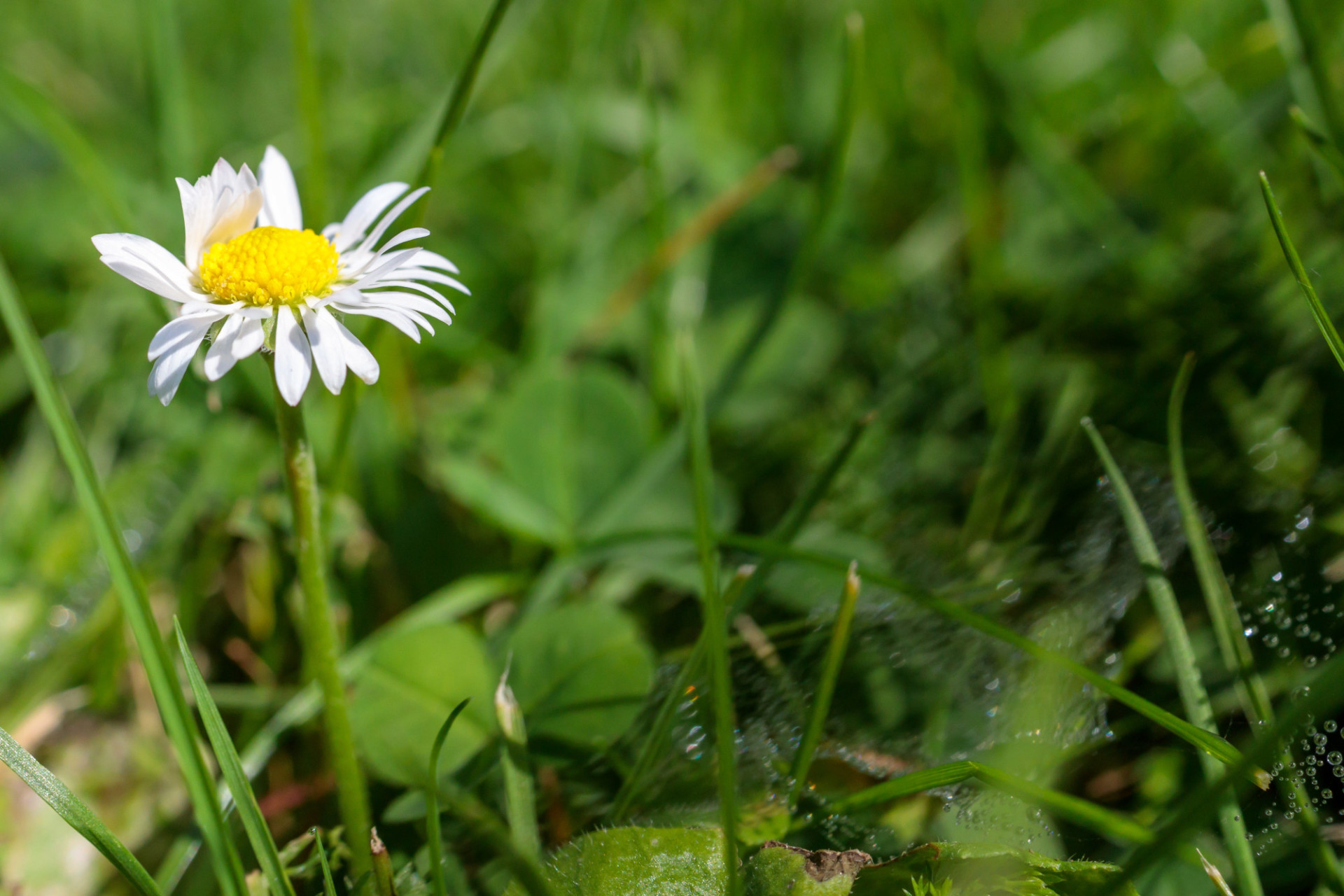 Small daisy in a meadow next to a wet spider's web