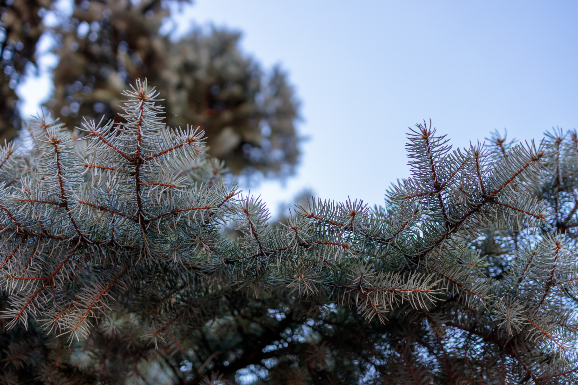 Looking up at a blue spruce