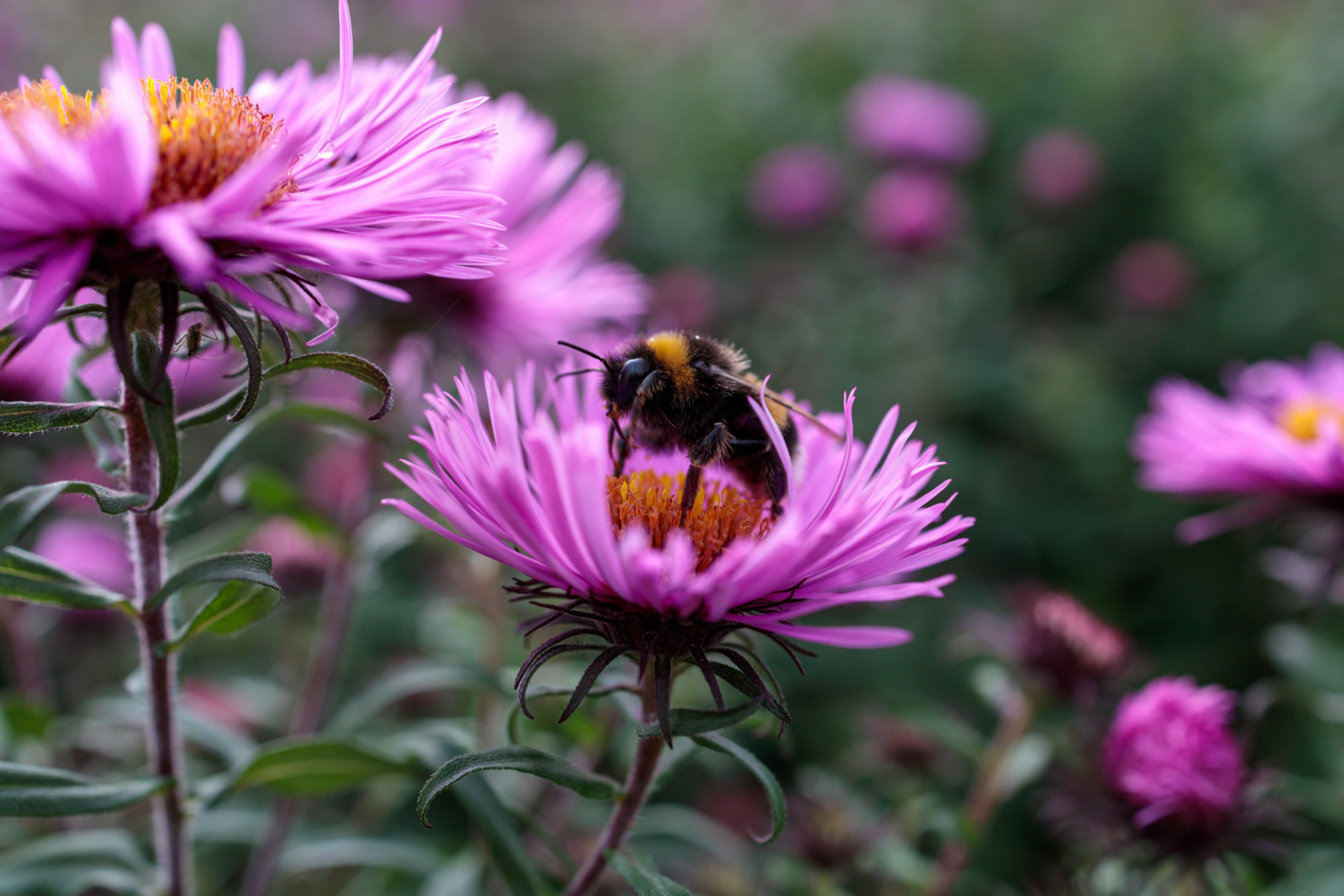 Bee on an pink aster flower