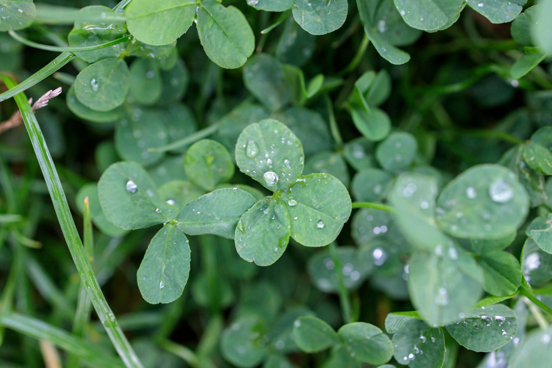 Clover in the rain