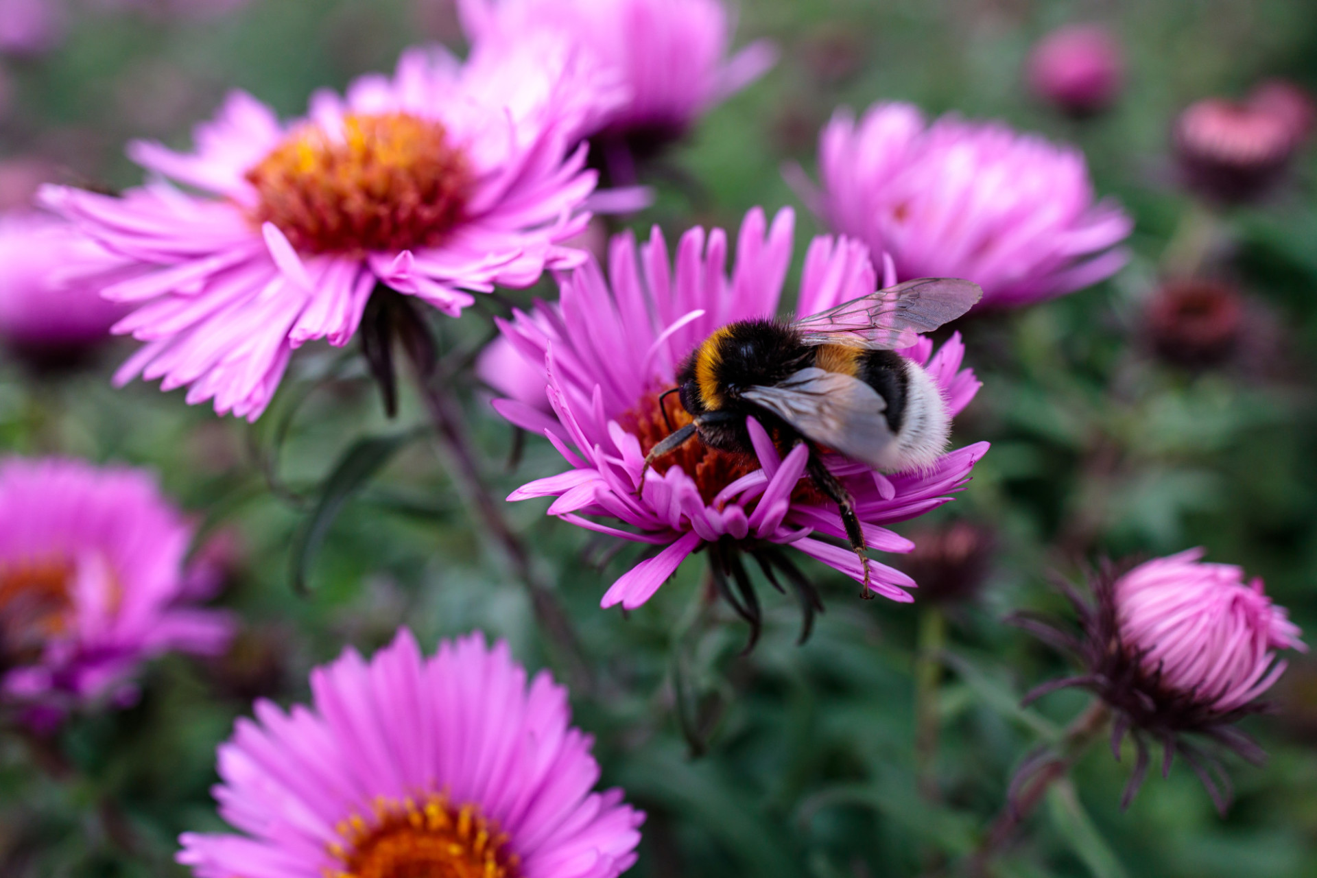 Bumblebee collecting nectar