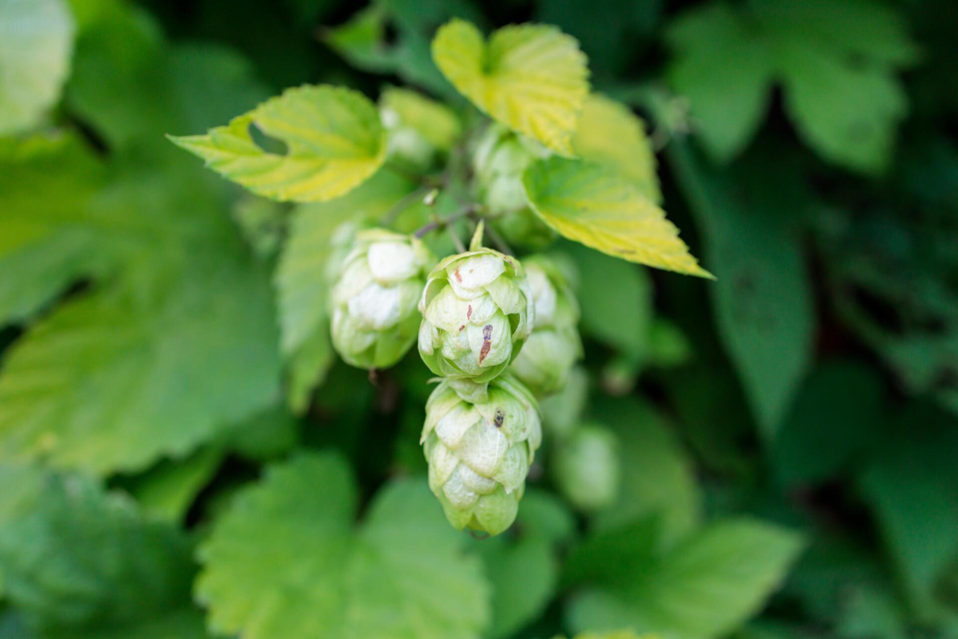 Hops ripen in late summer