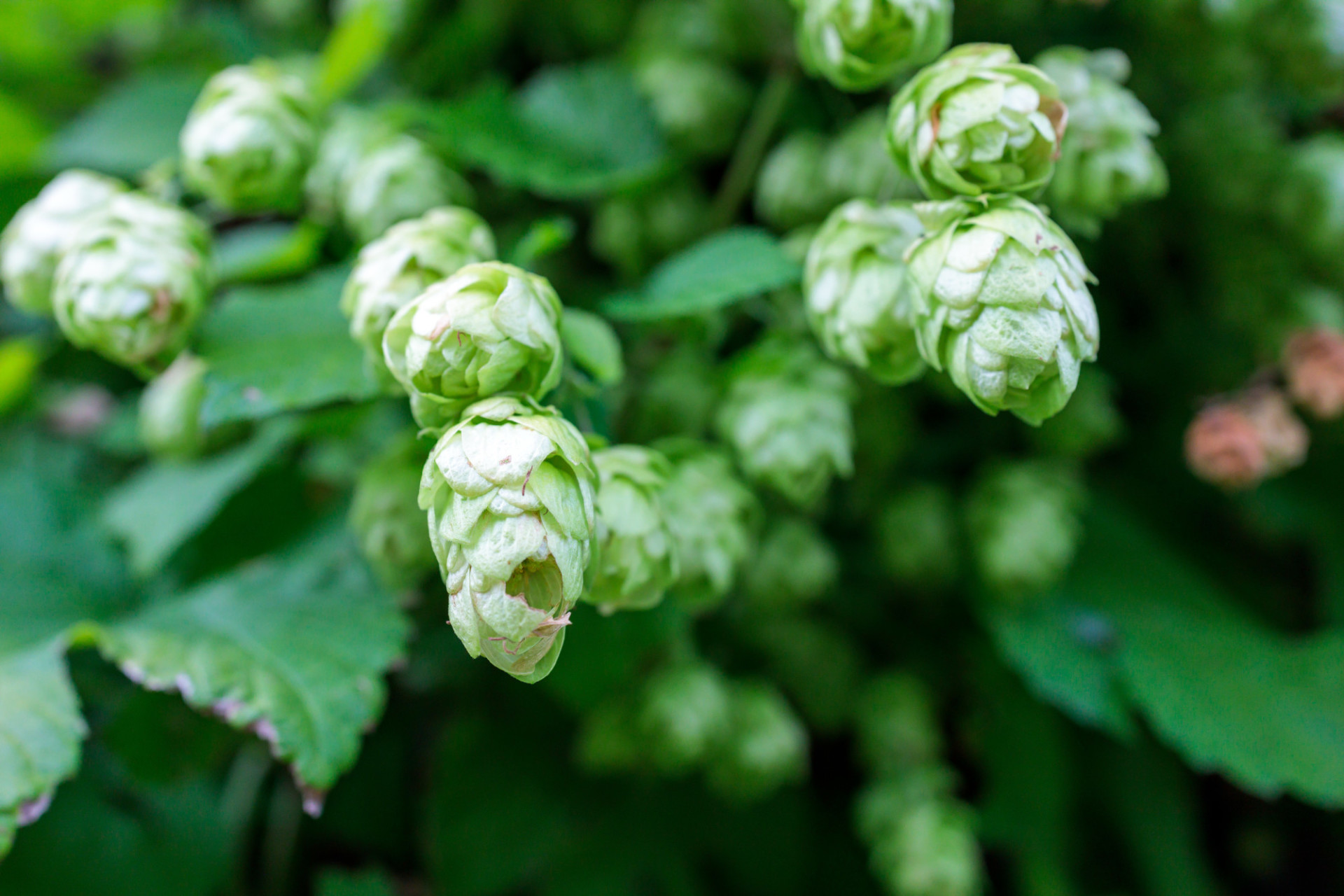 Hops ripening in late summer