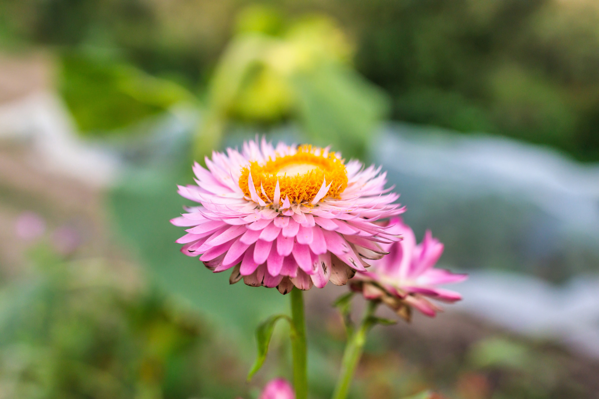 Pink Aster Flower with Yellow Inner