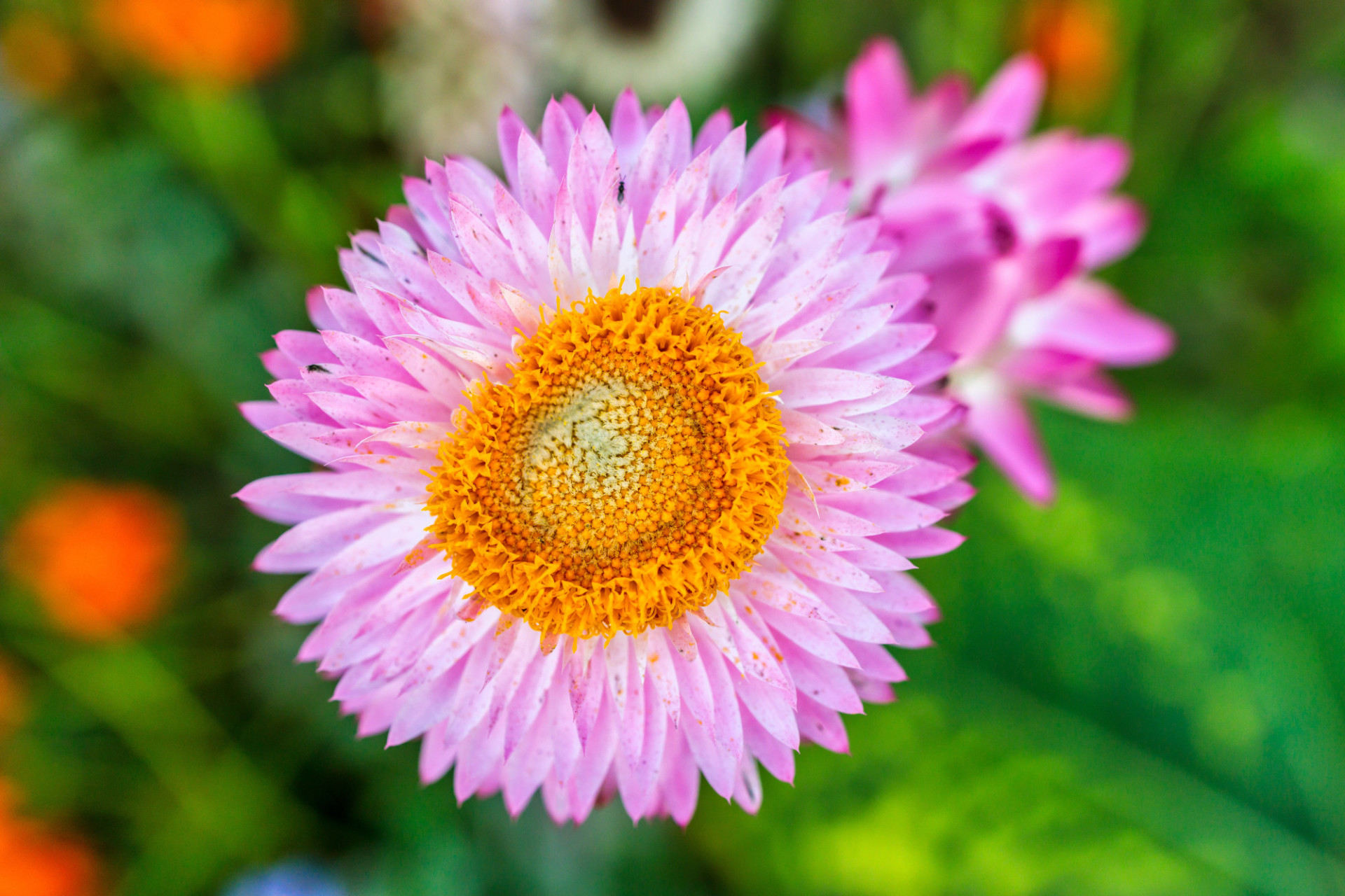 Pink Aster Flower with Yellow Inner from top