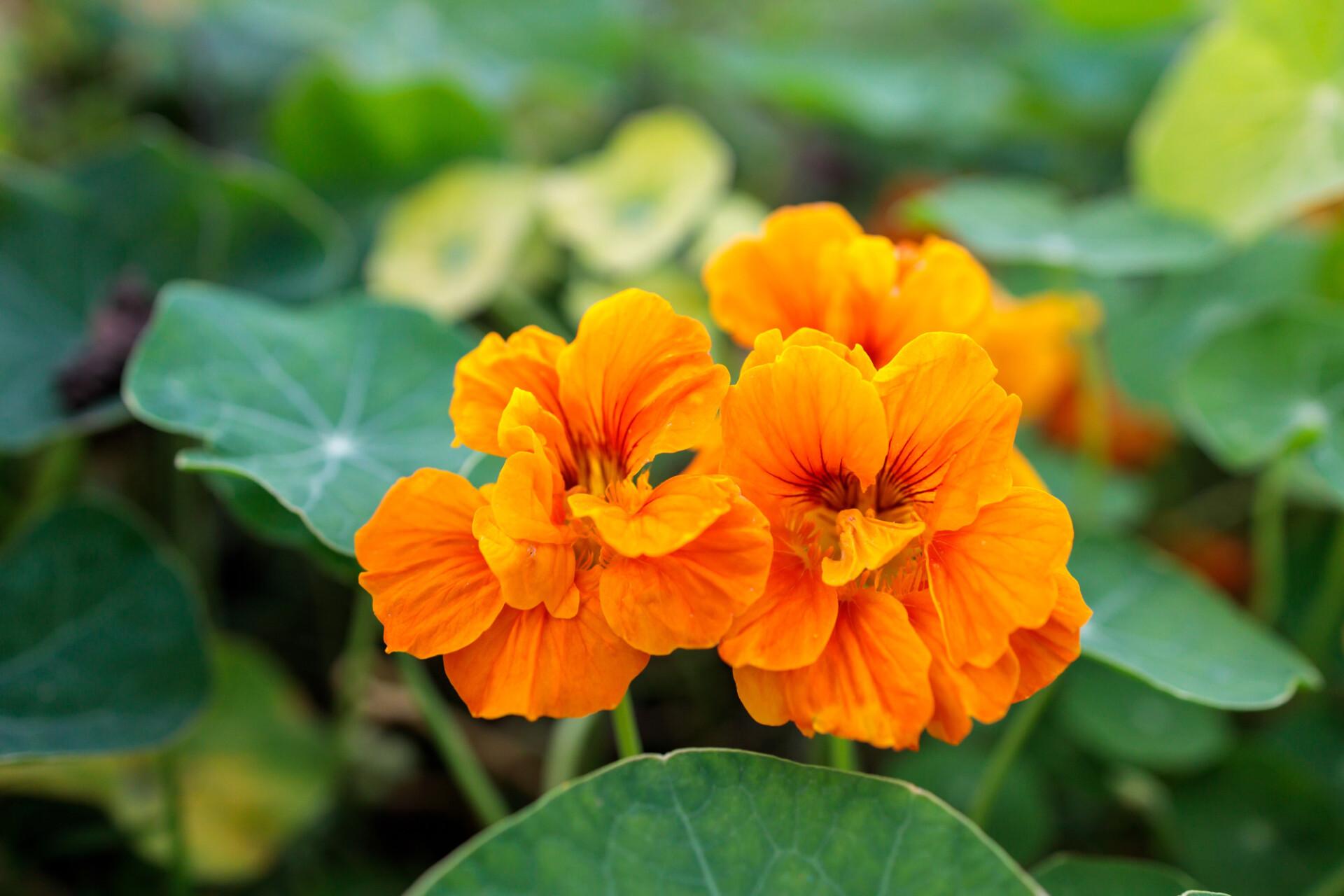 Garden Nasturtium edible plants in an organic garden