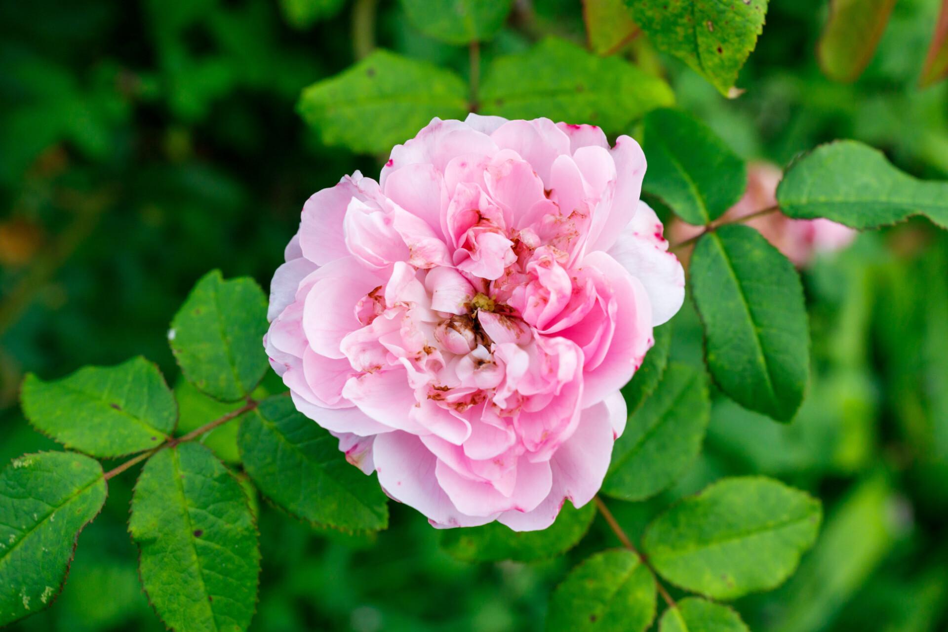 Pink Rose blooms in September