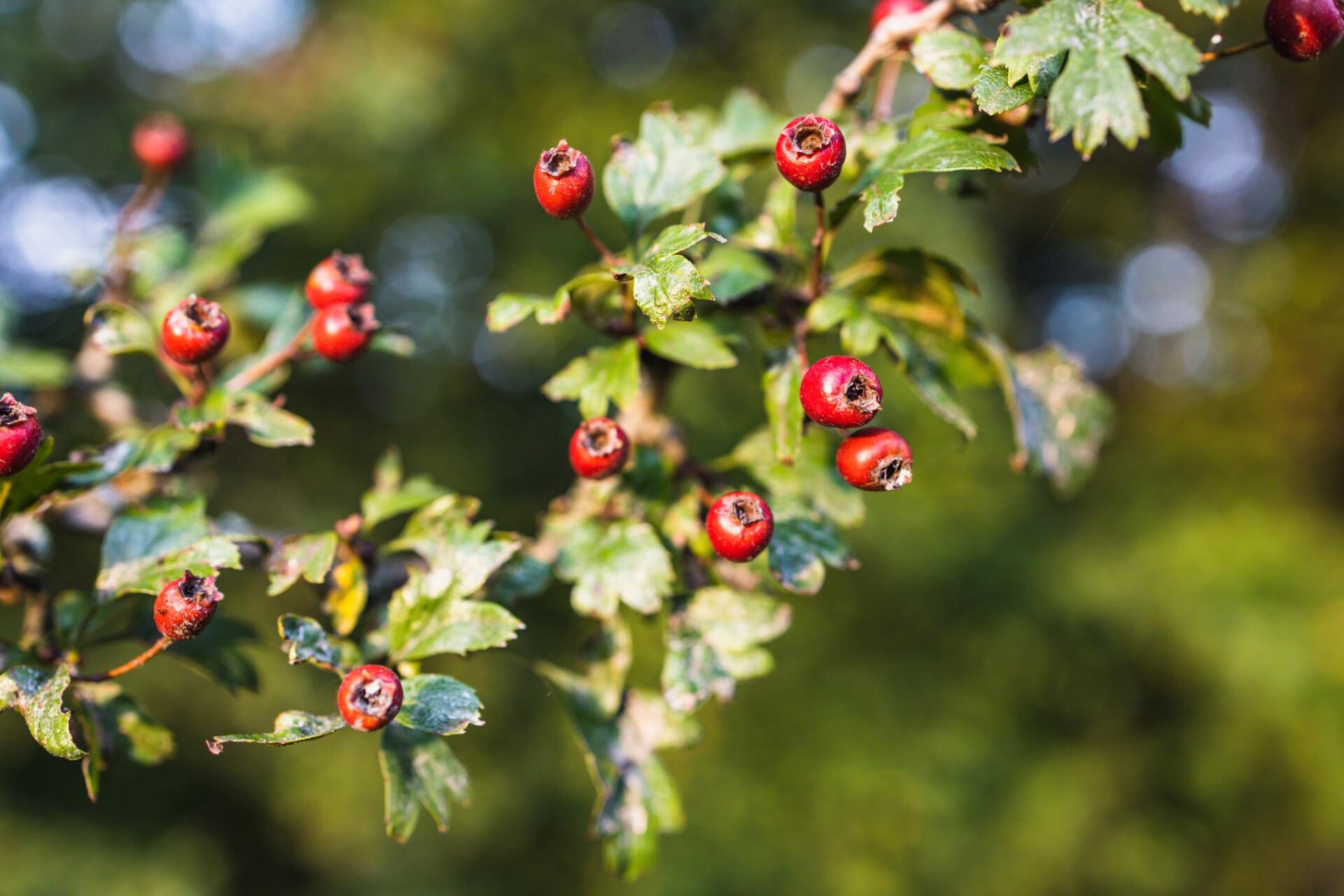 Hawthorn Tree branch