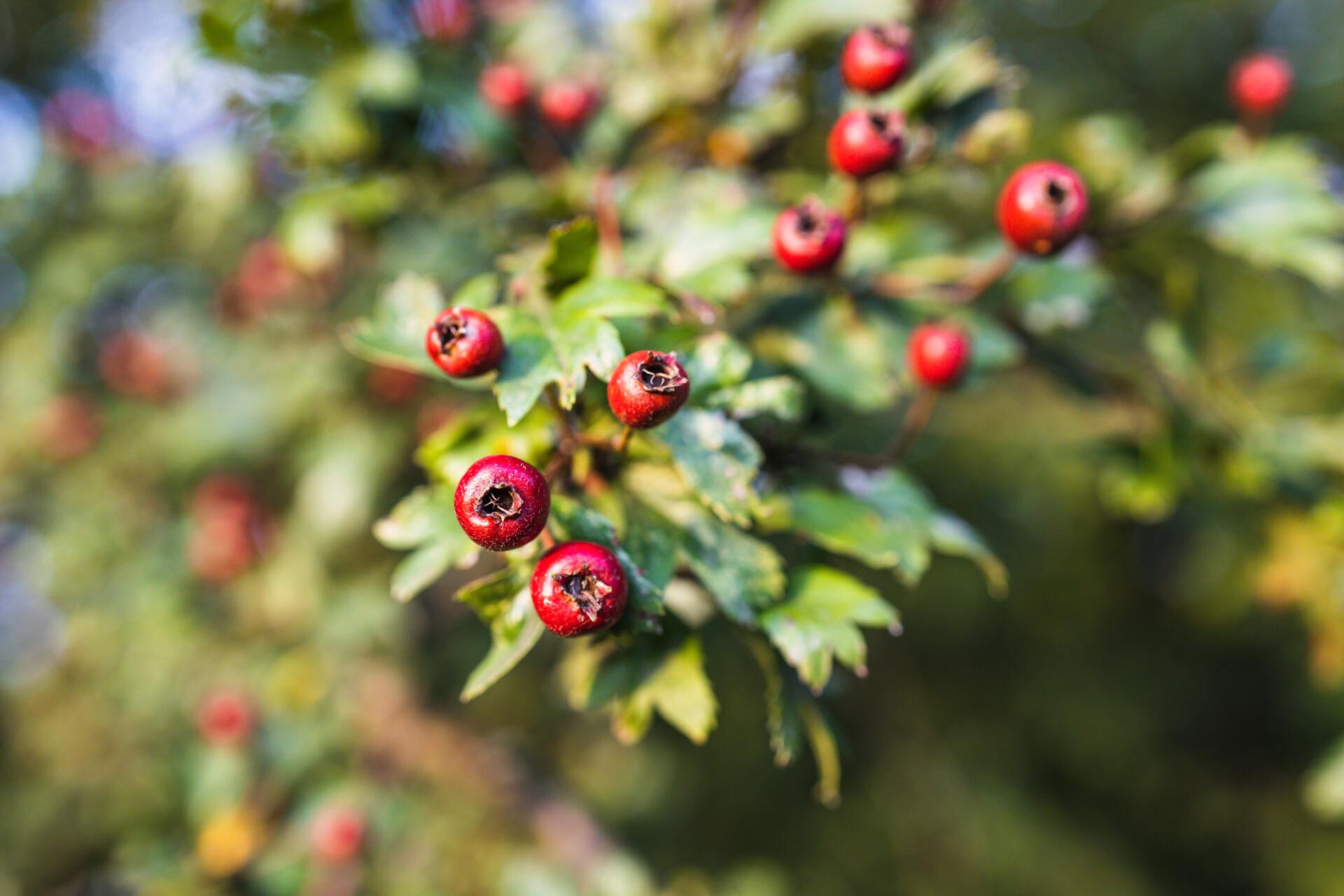 The English Hawthorn Tree (crataegus monogyna)