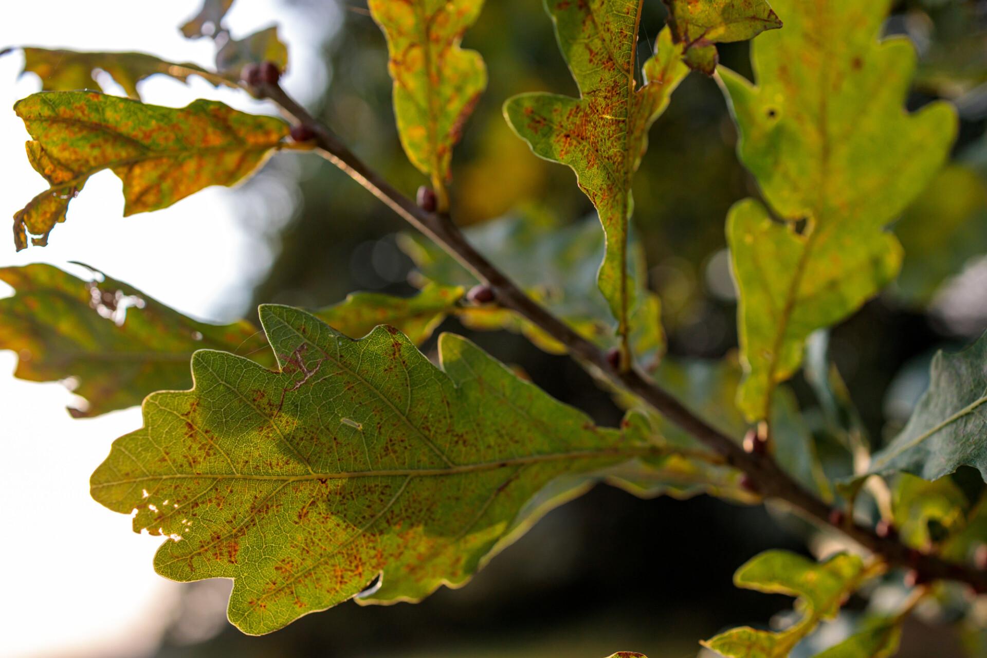 Leaves of an oak in late summer