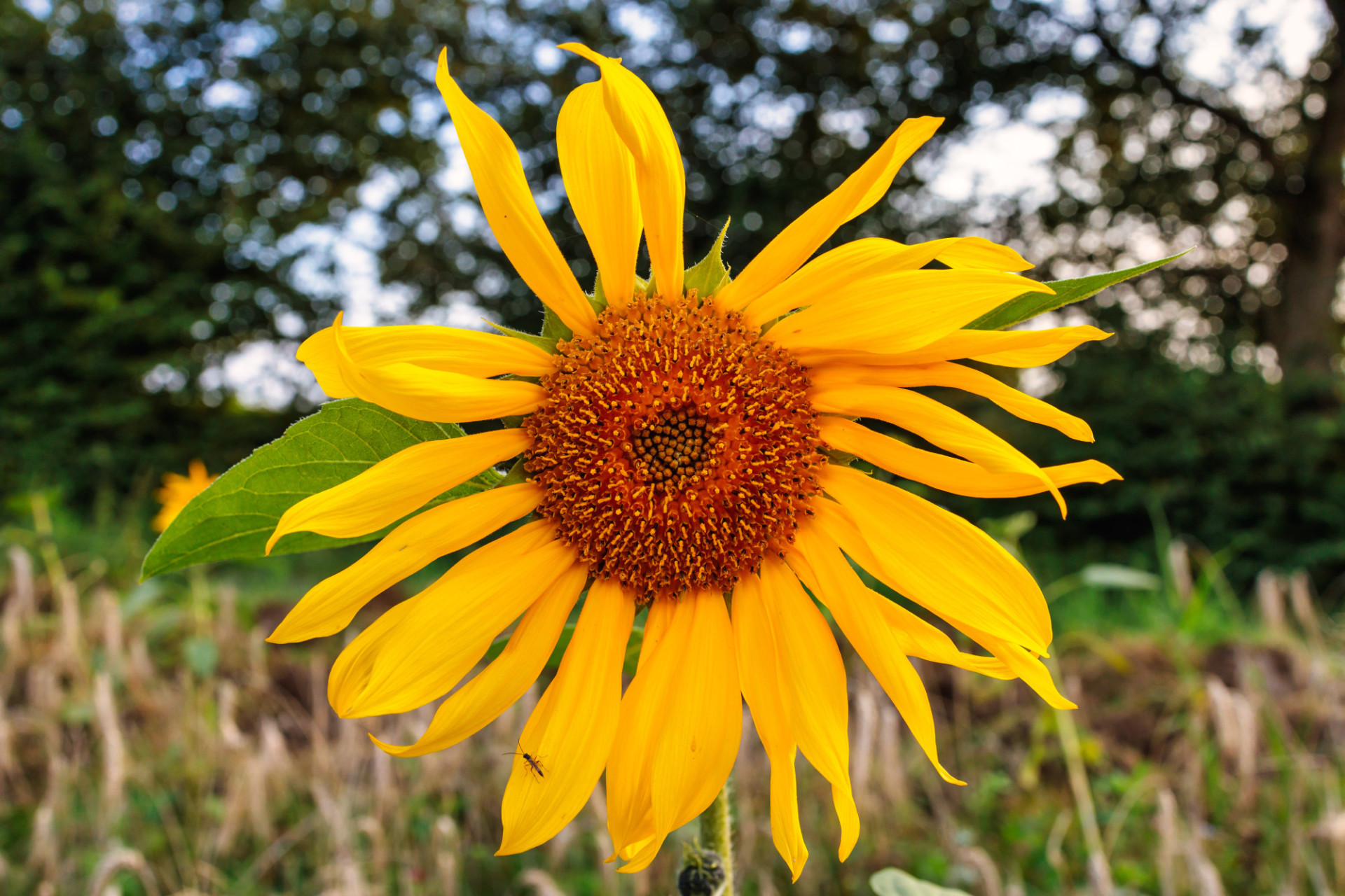 Wildly growing sunflower at the edge of a field
