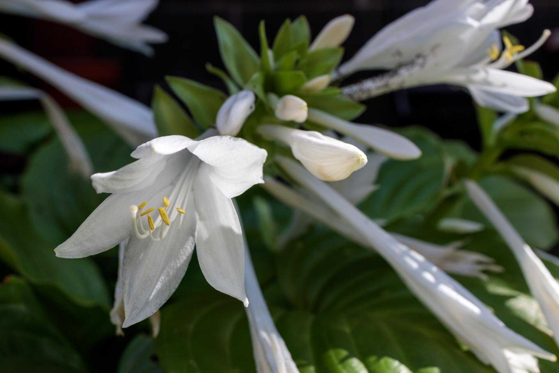 August Lily Hosta plantaginea Grandiflora
