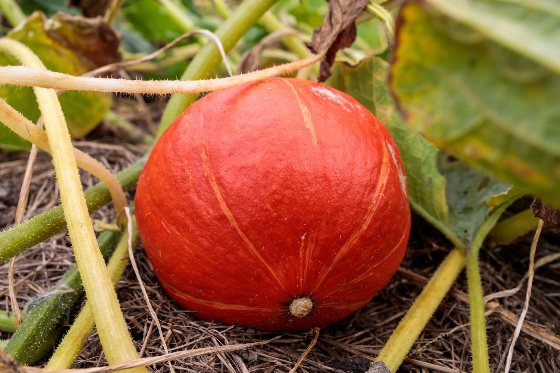 Orange pumpkin grows in the garden