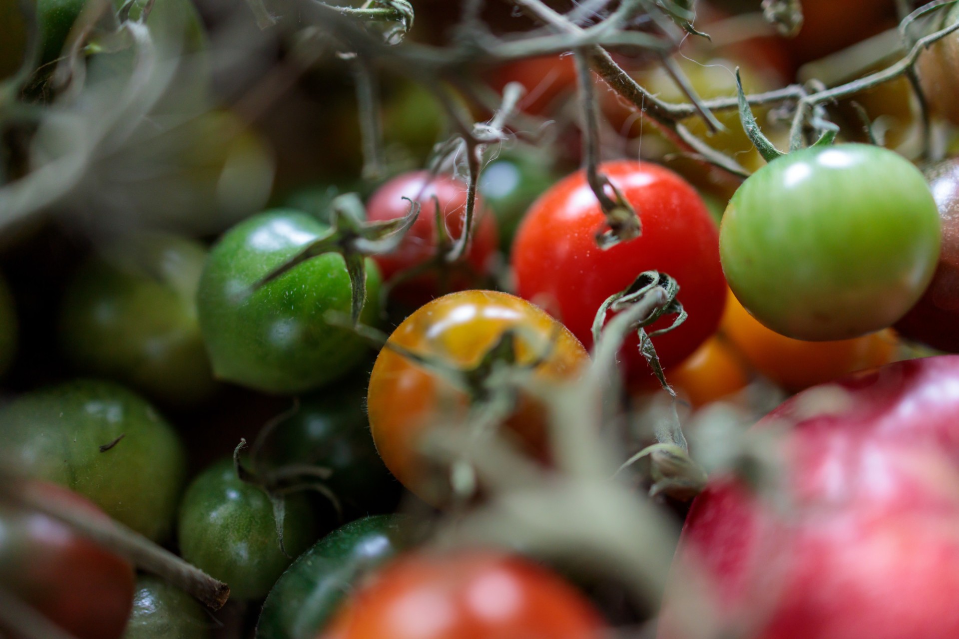 Green and red tomatoes are ripening on the windowsill