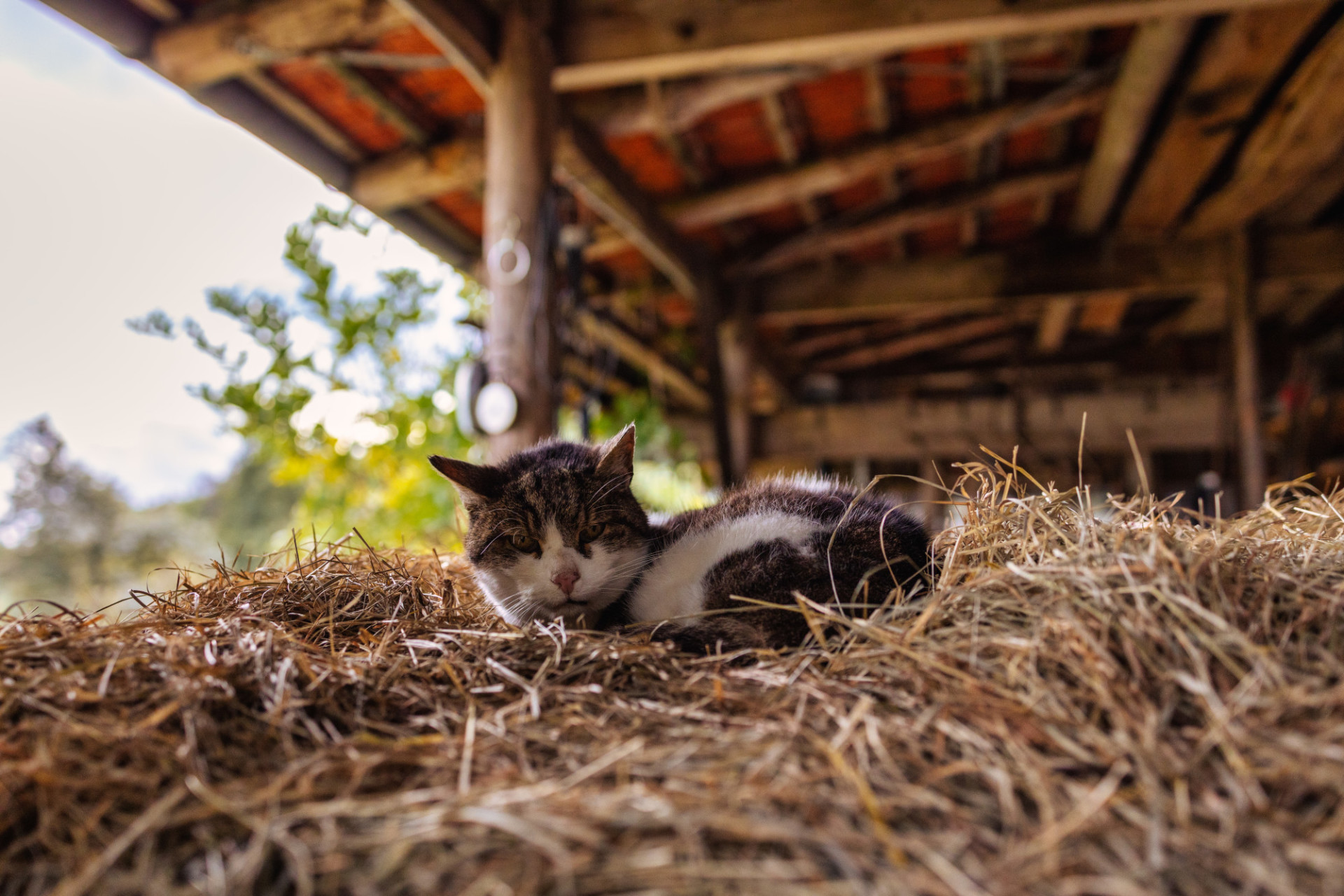 Cat lying on a hay bale