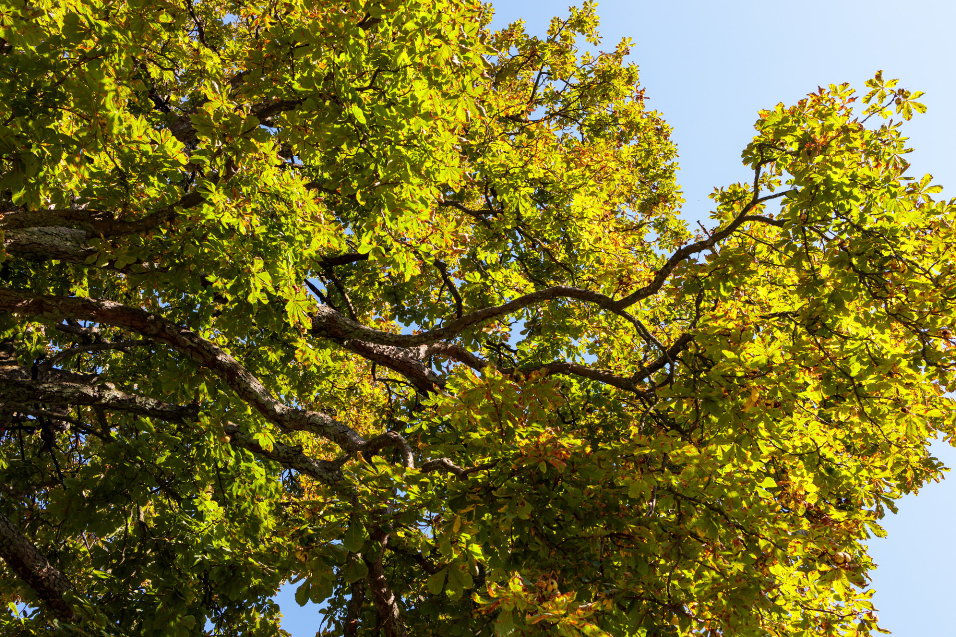 View up to a chestnut tree